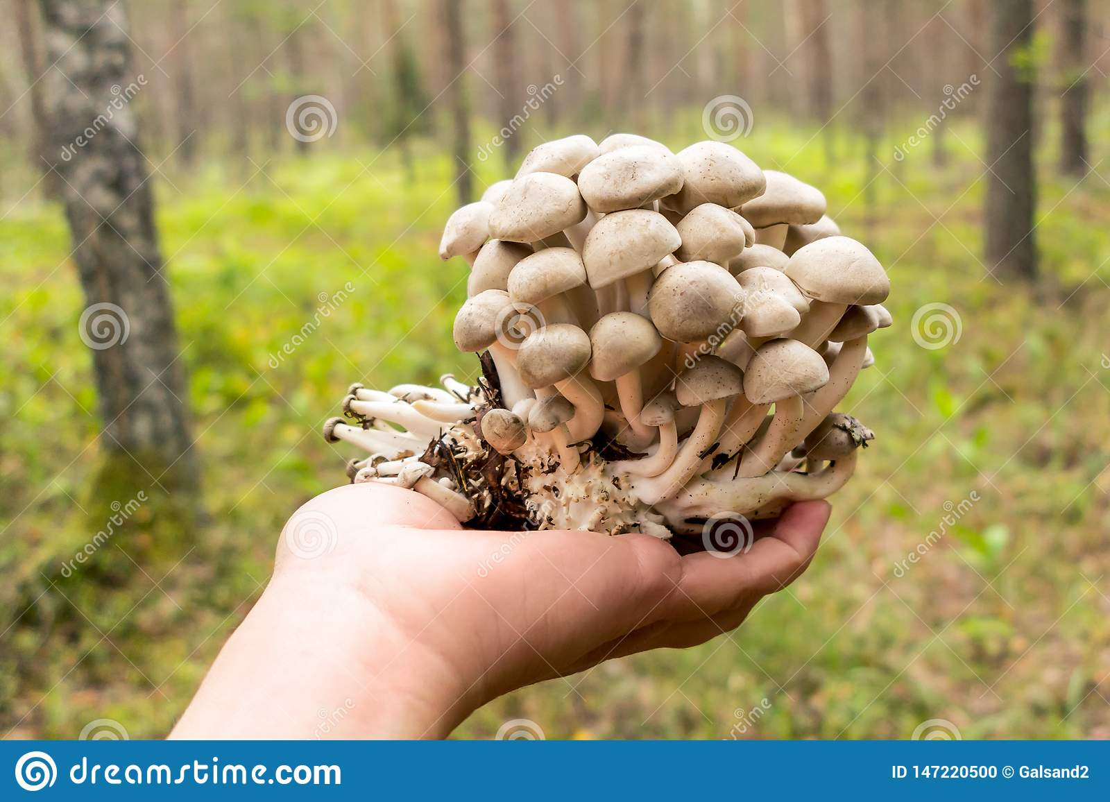 拿着Lyophyllum decastes蘑菇的女性手在秋天森林里