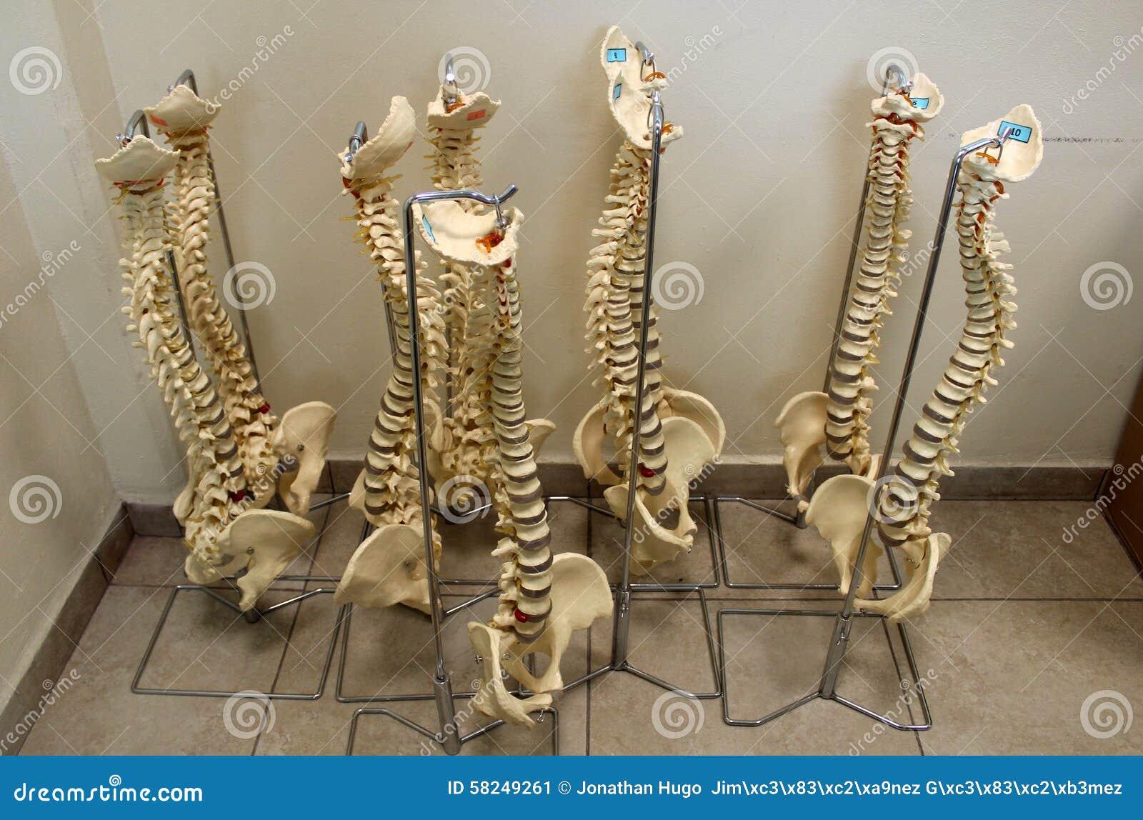 按摩脊柱治疗者测试塑料脊柱