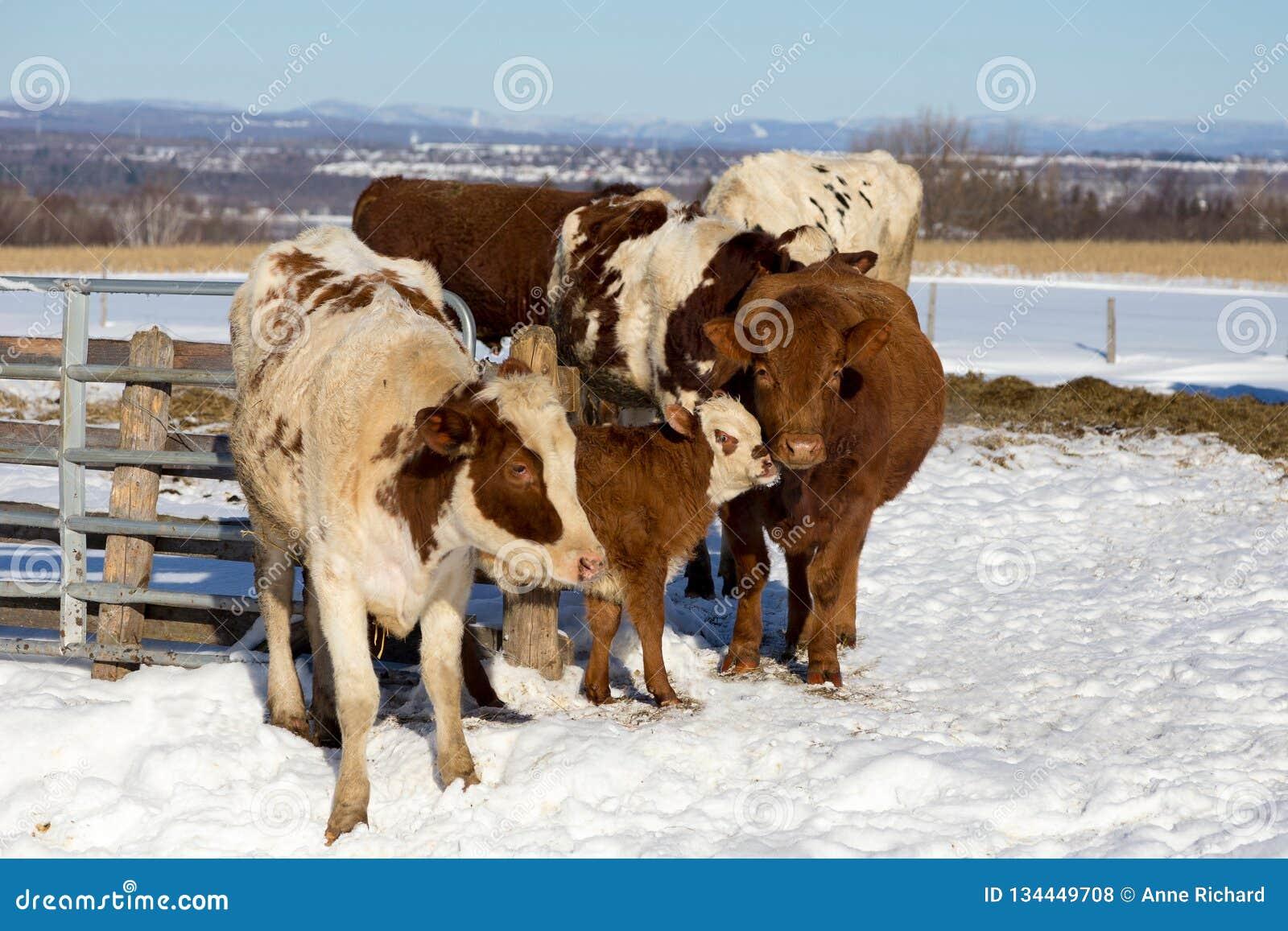 挤作一团反对它的在牛中的母亲的逗人喜爱的面无血色的棕色小牛
