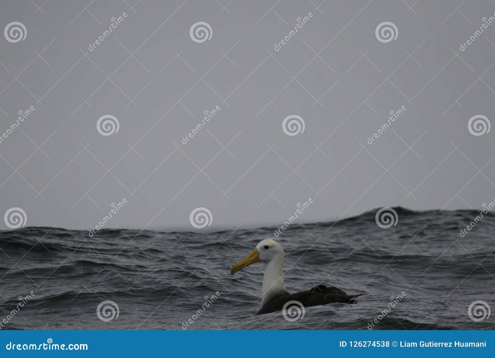 挥动的信天翁坐海洋表面