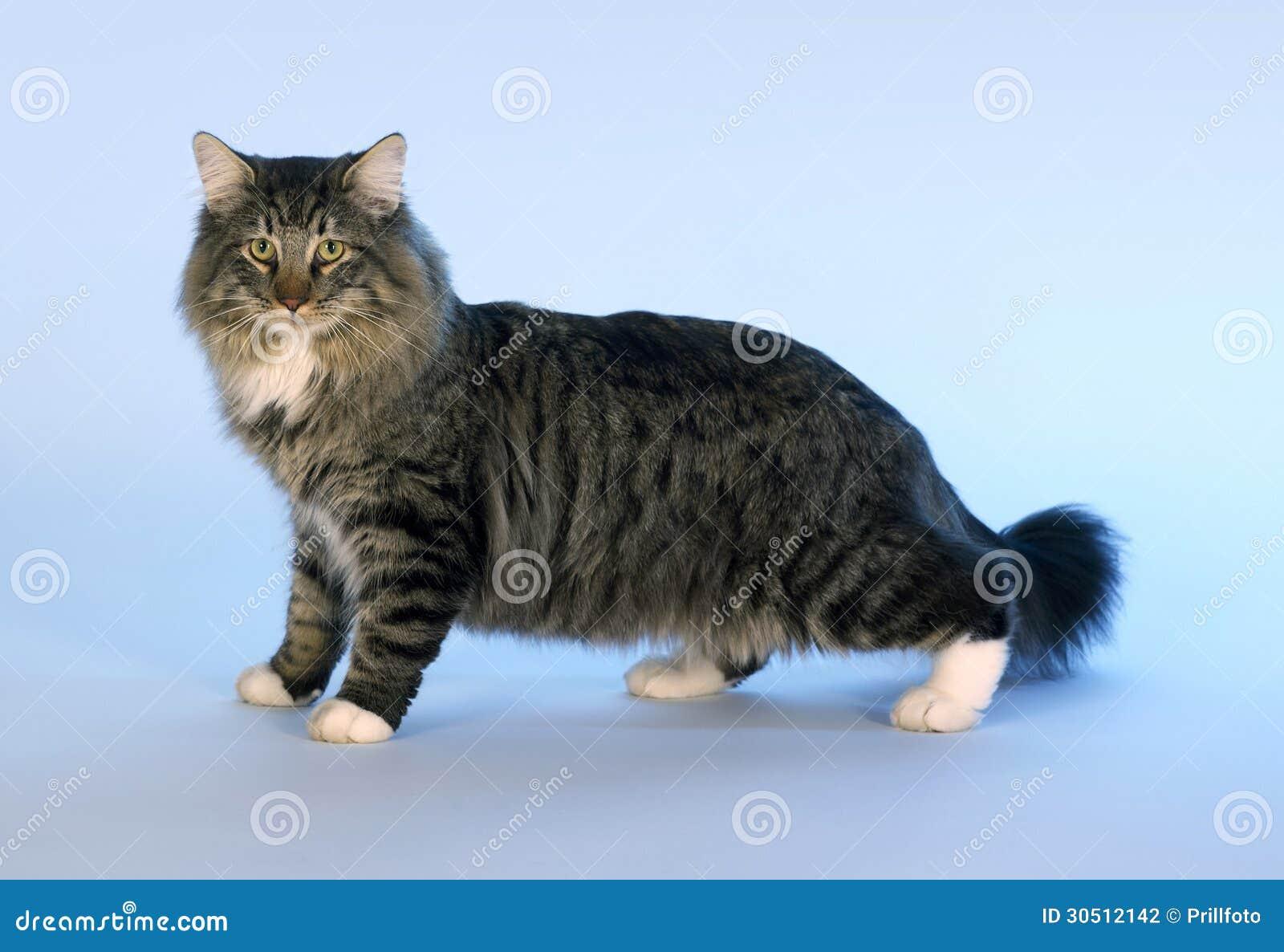 在浅兰的后面的好奇挪威森林小猫.图片