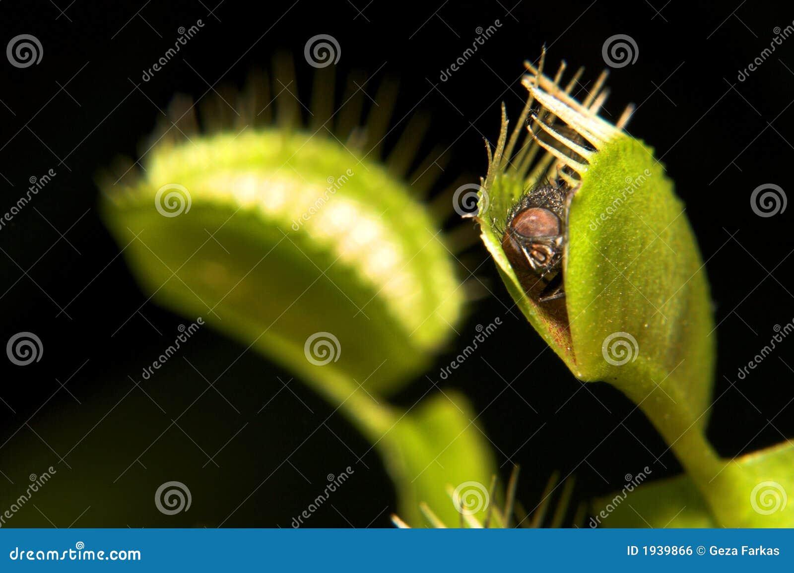 捕蝇器金星
