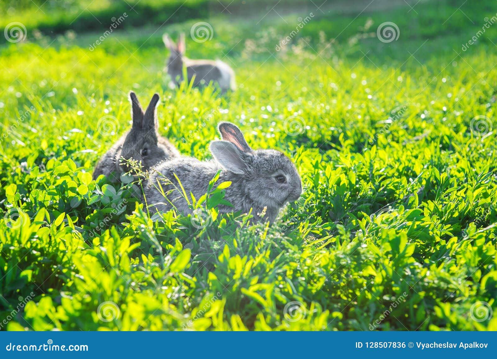 探索晴朗的草的束灰色兔子