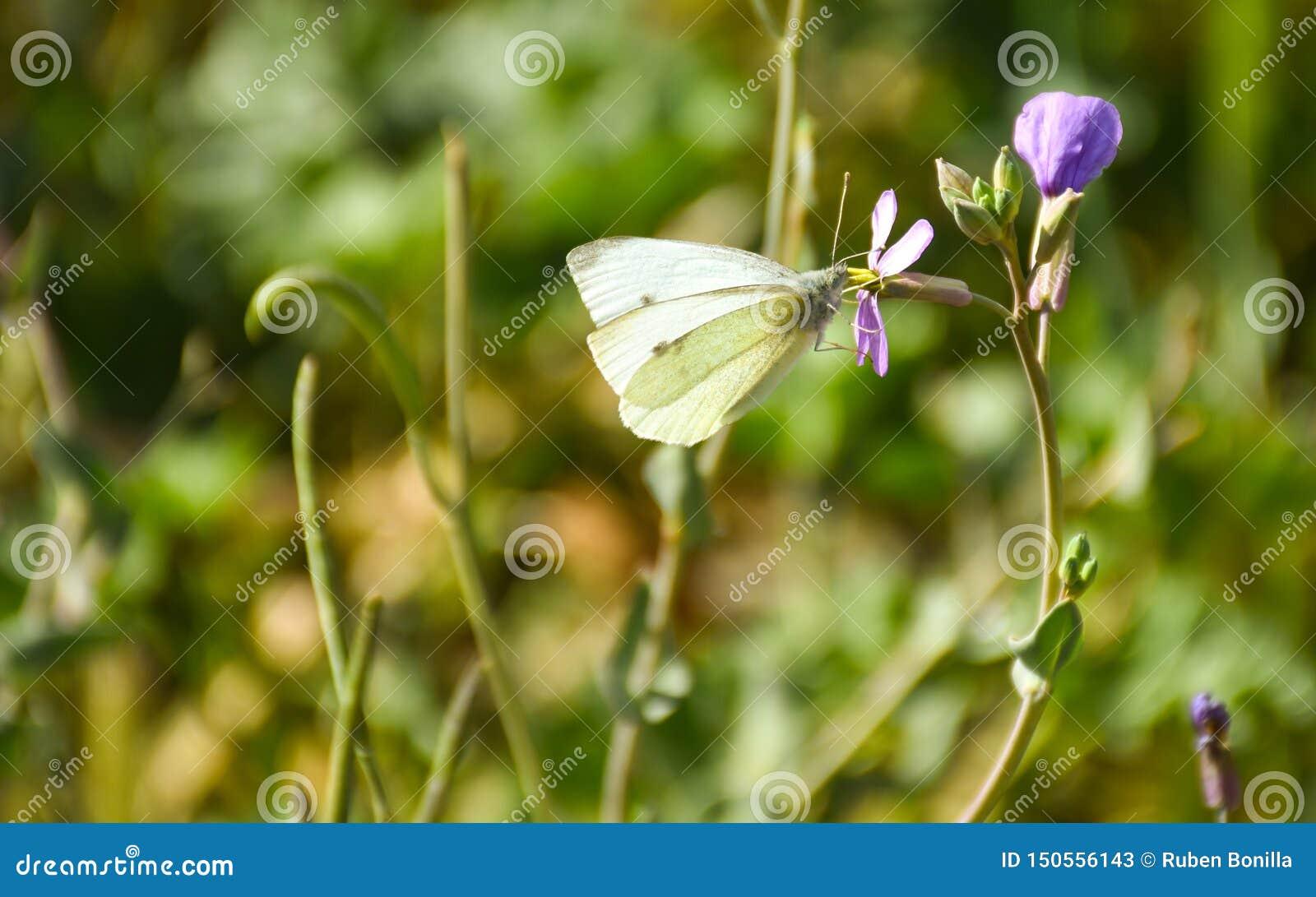 接近与在一朵紫色花平安地摆在的黑点病的一只白色蝴蝶喝花蜜在一好日子在a的春天
