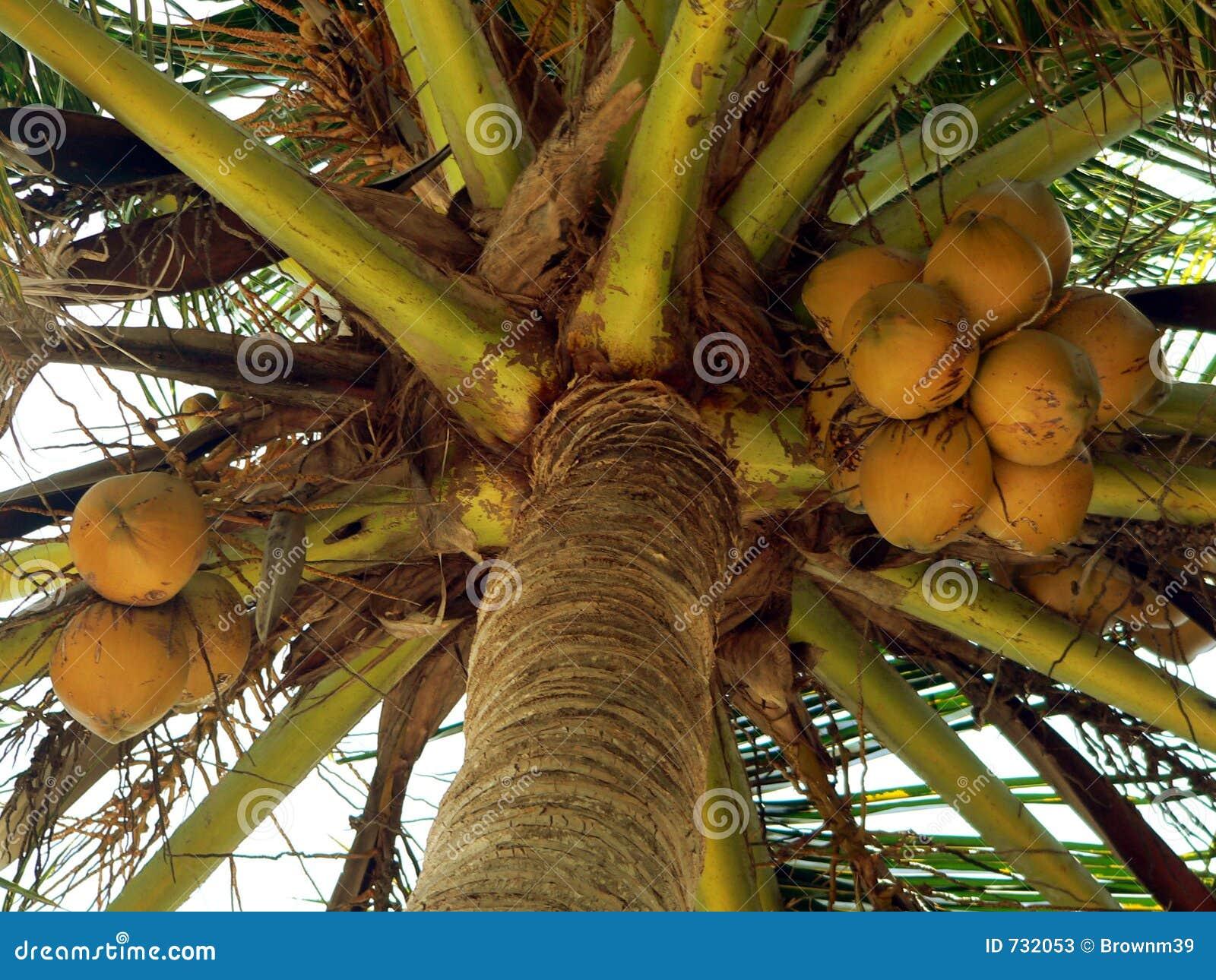 接近成熟的椰子