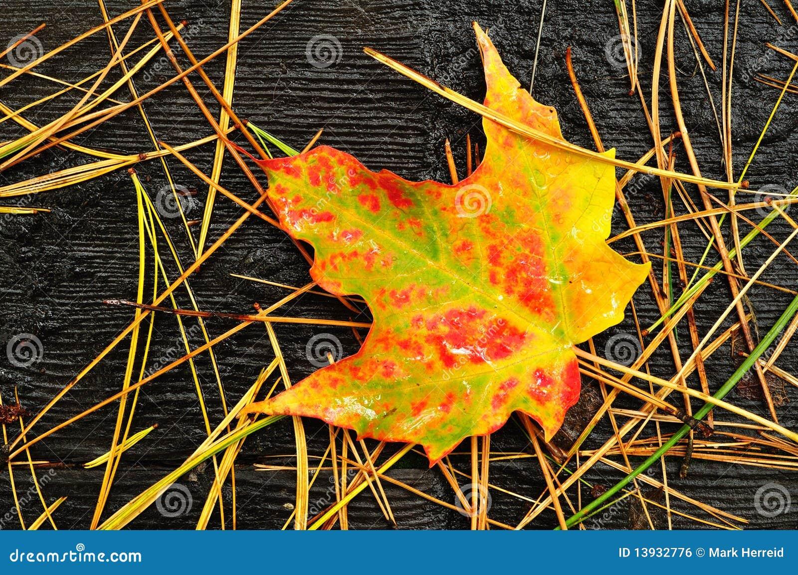 接近的五颜六色的叶子槭树