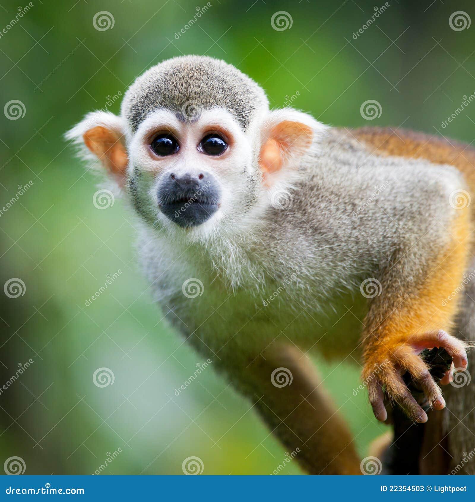 接近的公用猴子灰鼠