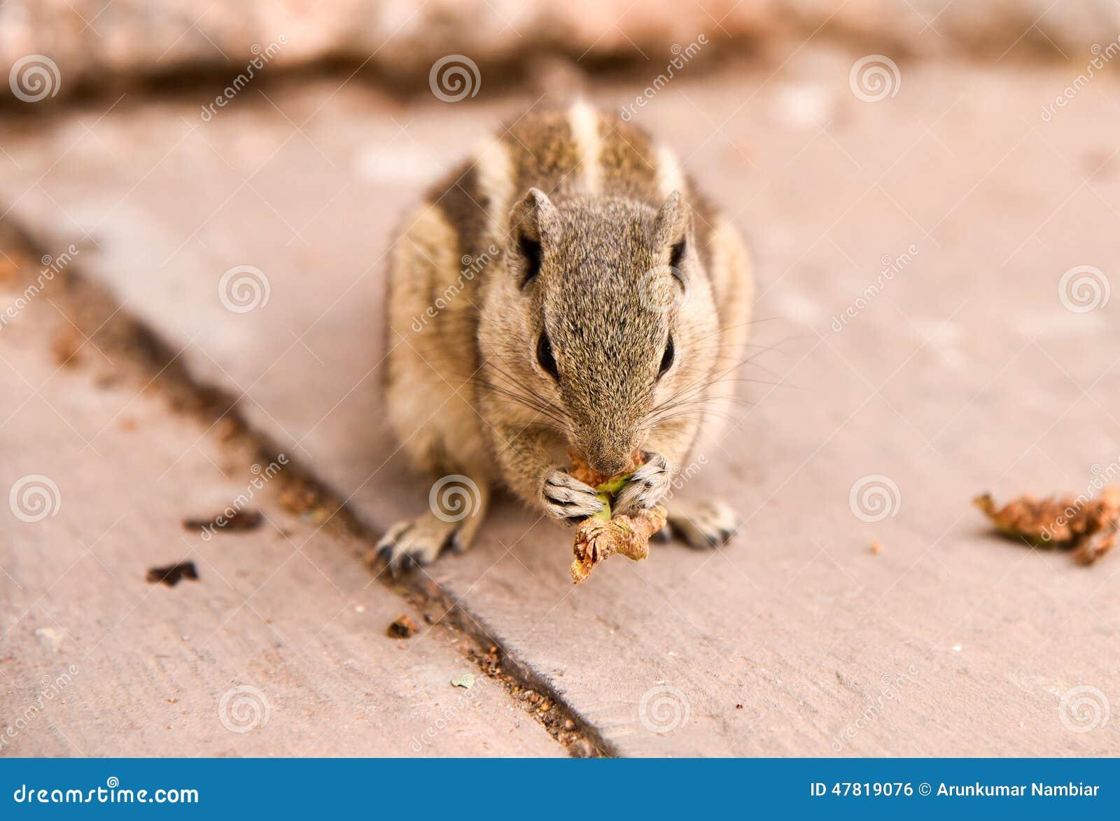 接近的吃灰鼠