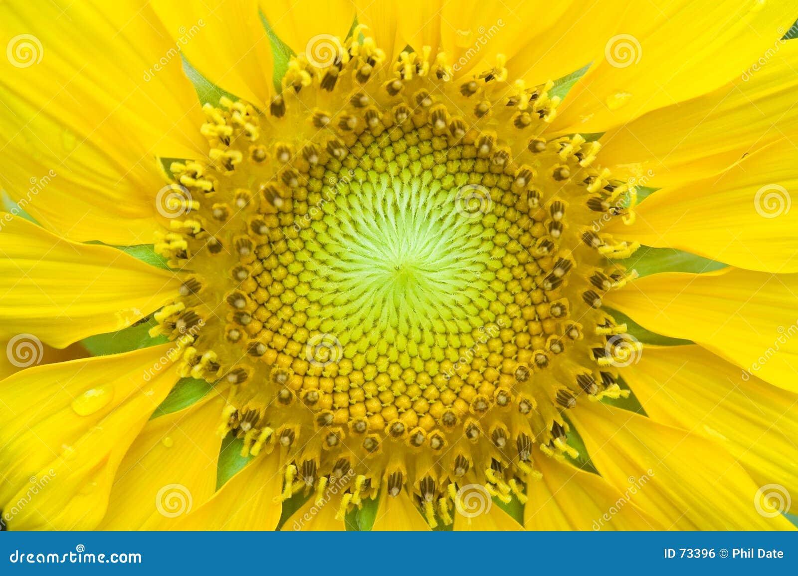 接近的向日葵