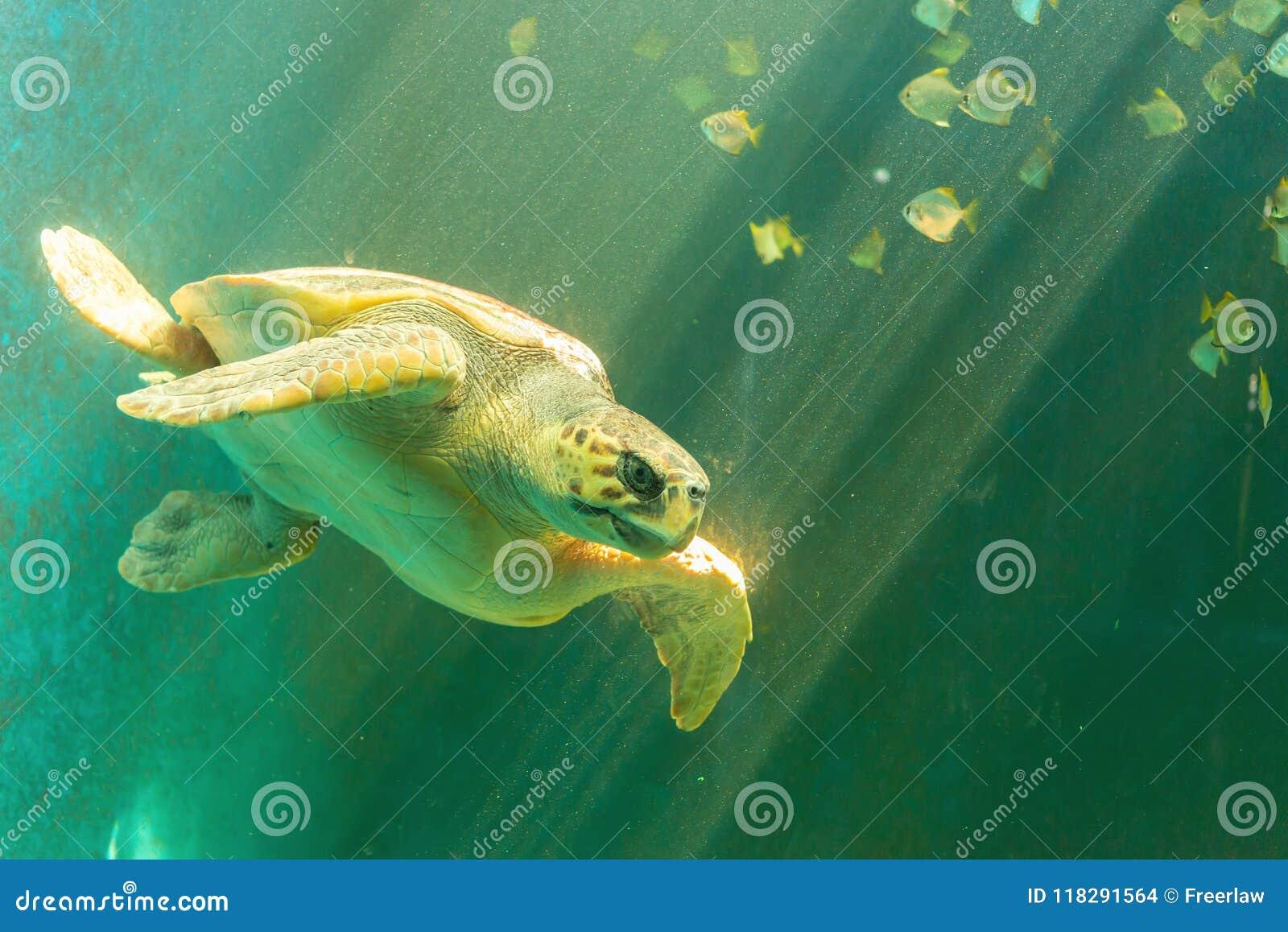 接近的照片海运游泳乌龟