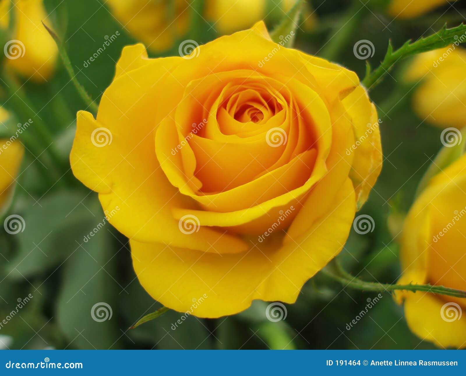 接近的玫瑰色黄色
