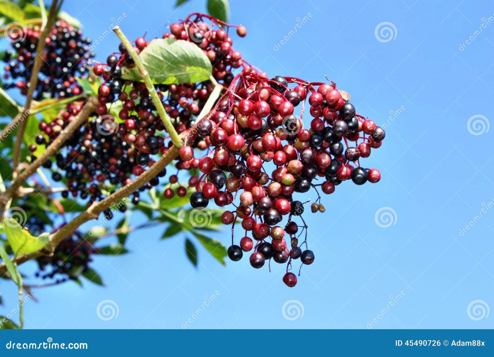接骨木浆果未成熟的果子