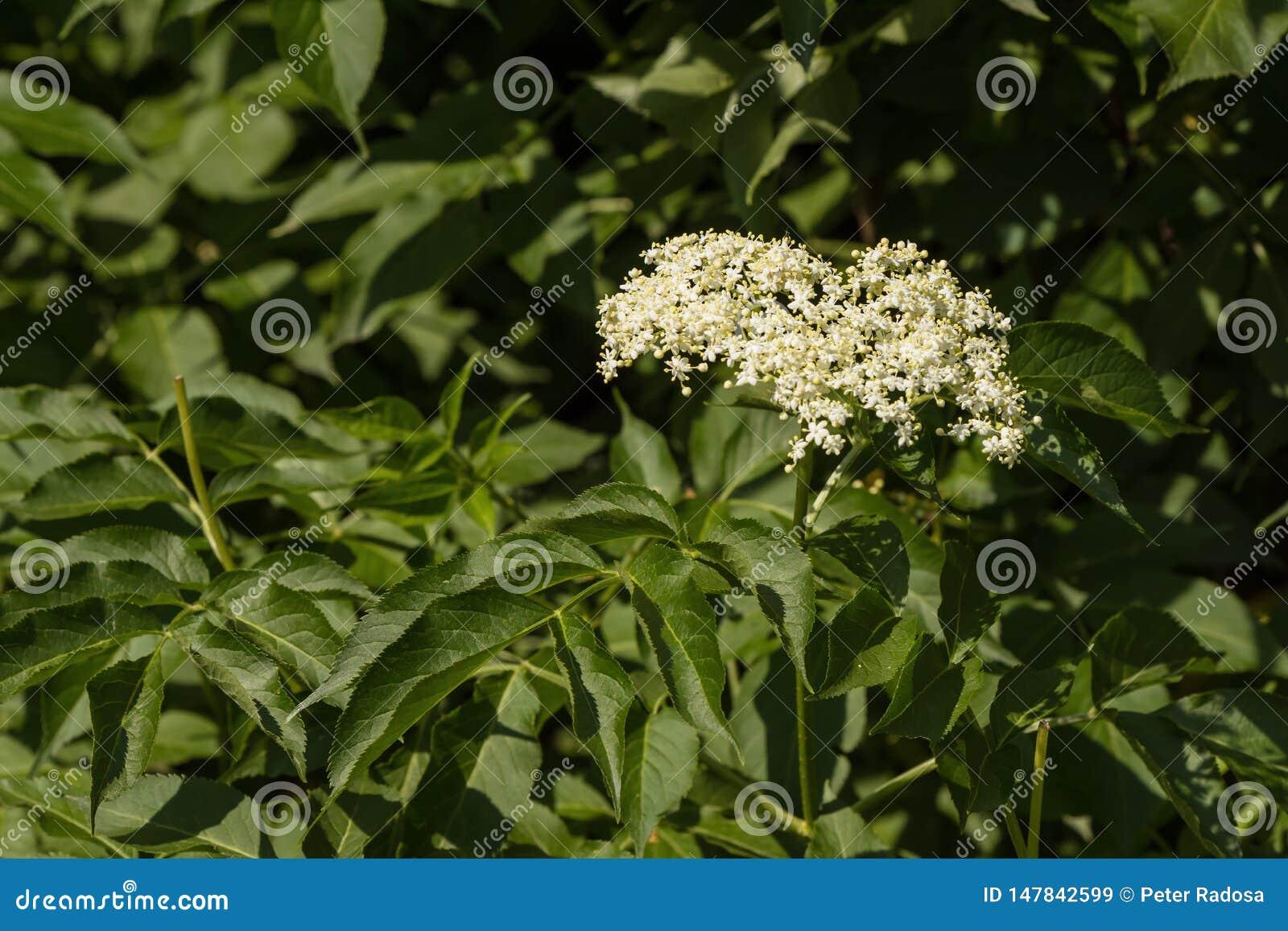 接骨木浆果白色开花