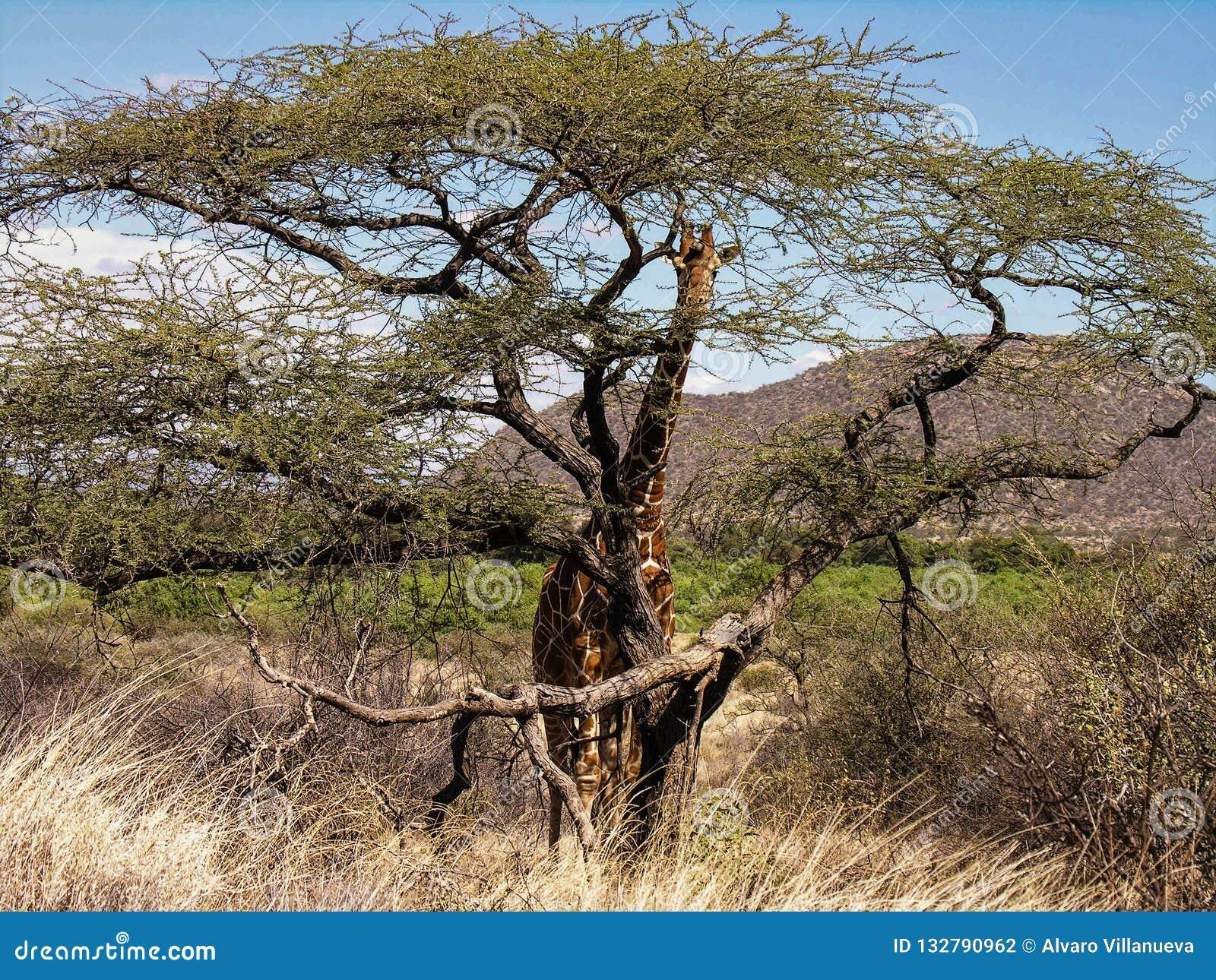 掩藏在金合欢树后的长颈鹿