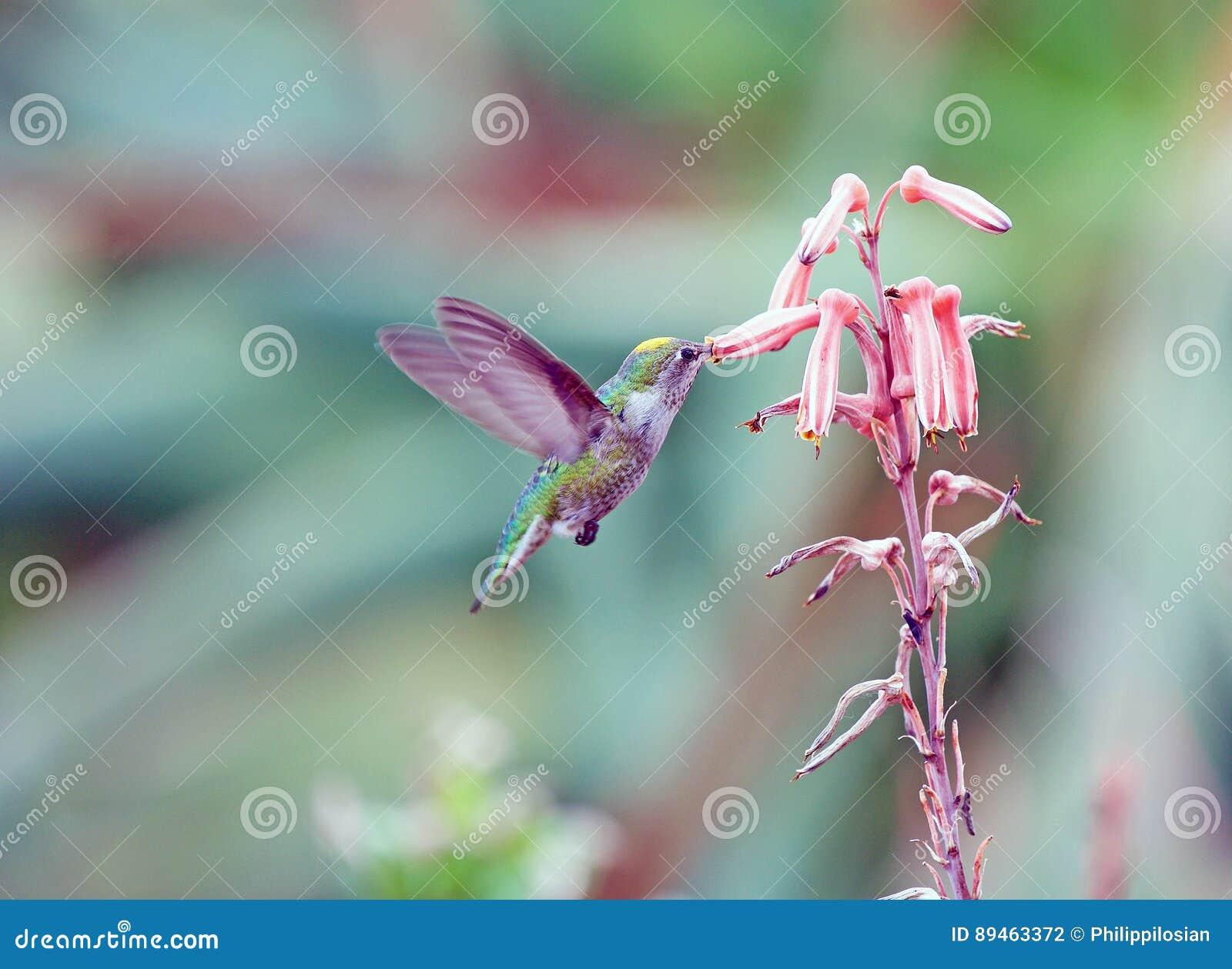 提供的蜂鸟花蜜