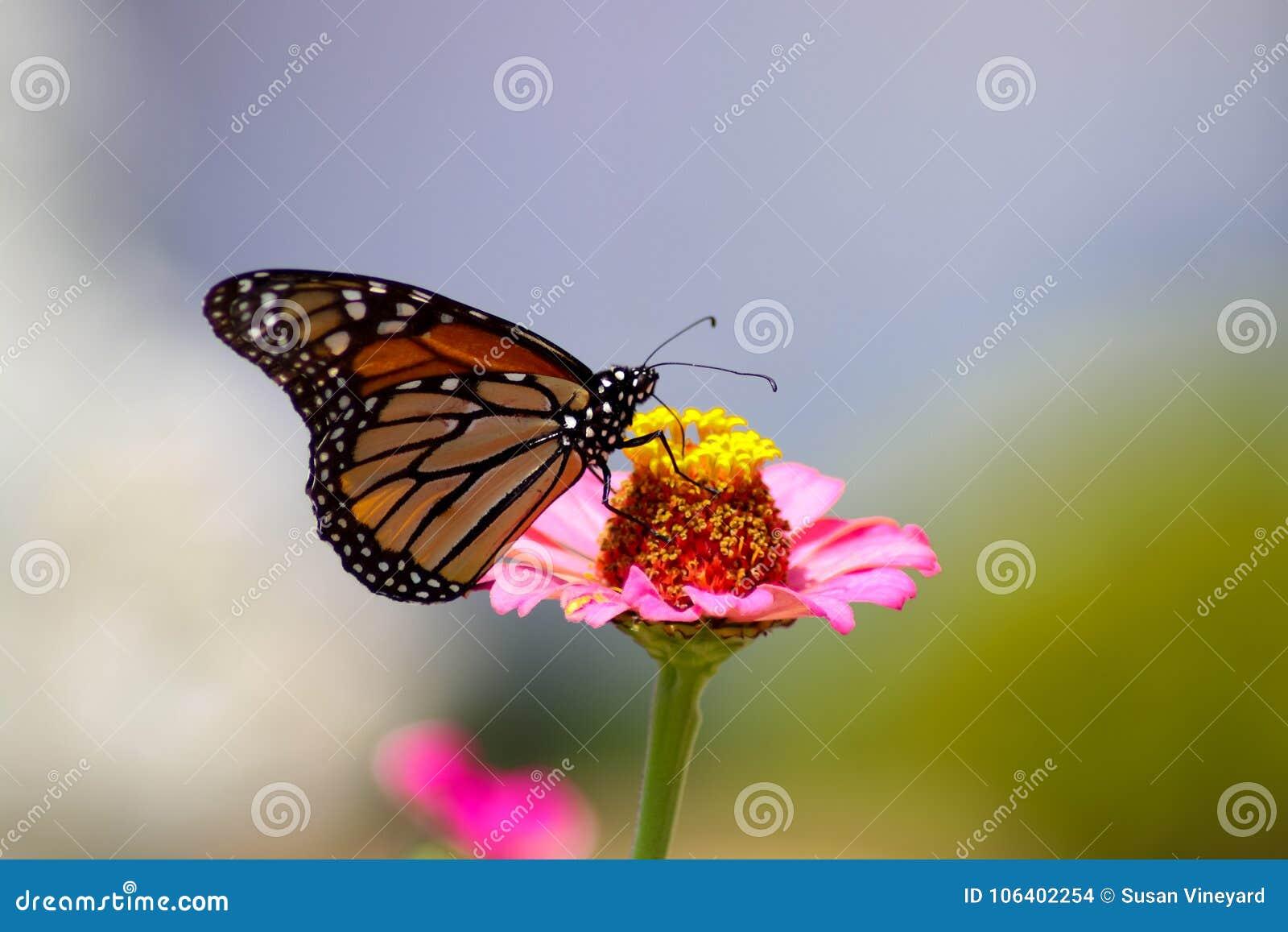 提取花蜜的黑脉金斑蝶从一朵桃红色百日菊属花有蓝色和绿色被弄脏的背景-选择聚焦