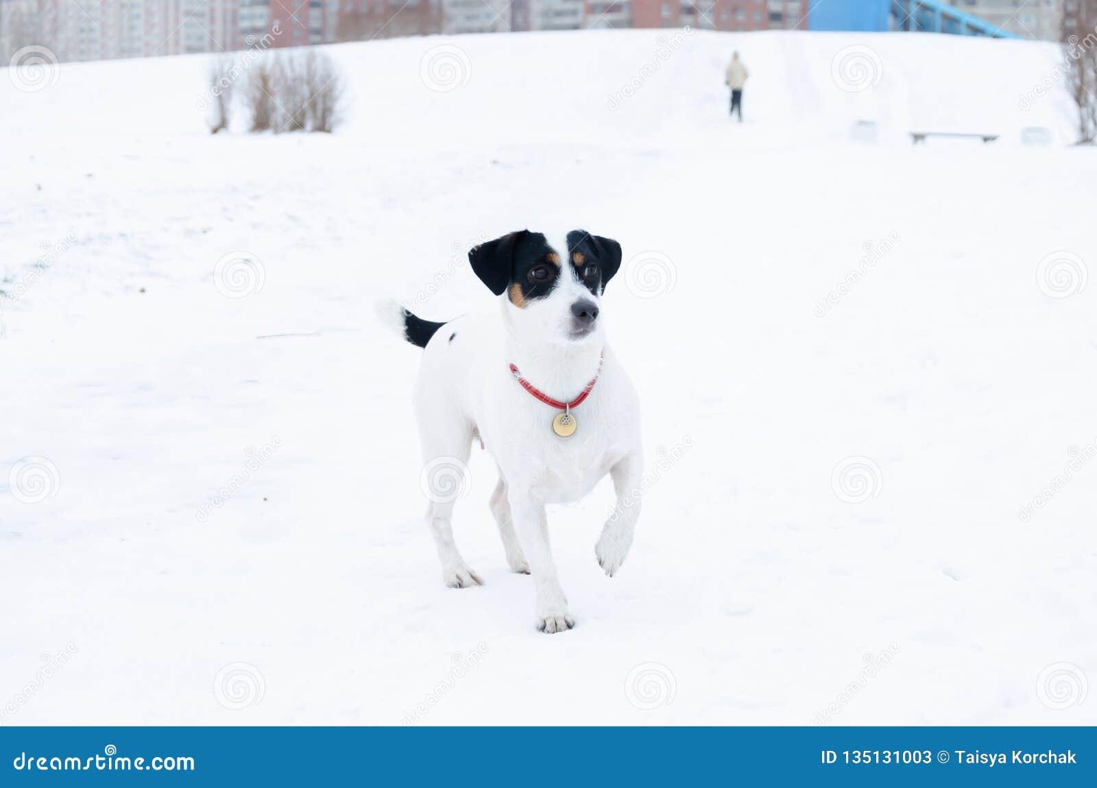 插孔罗素狗 狗执行它的所有者命令  走户外在冬天