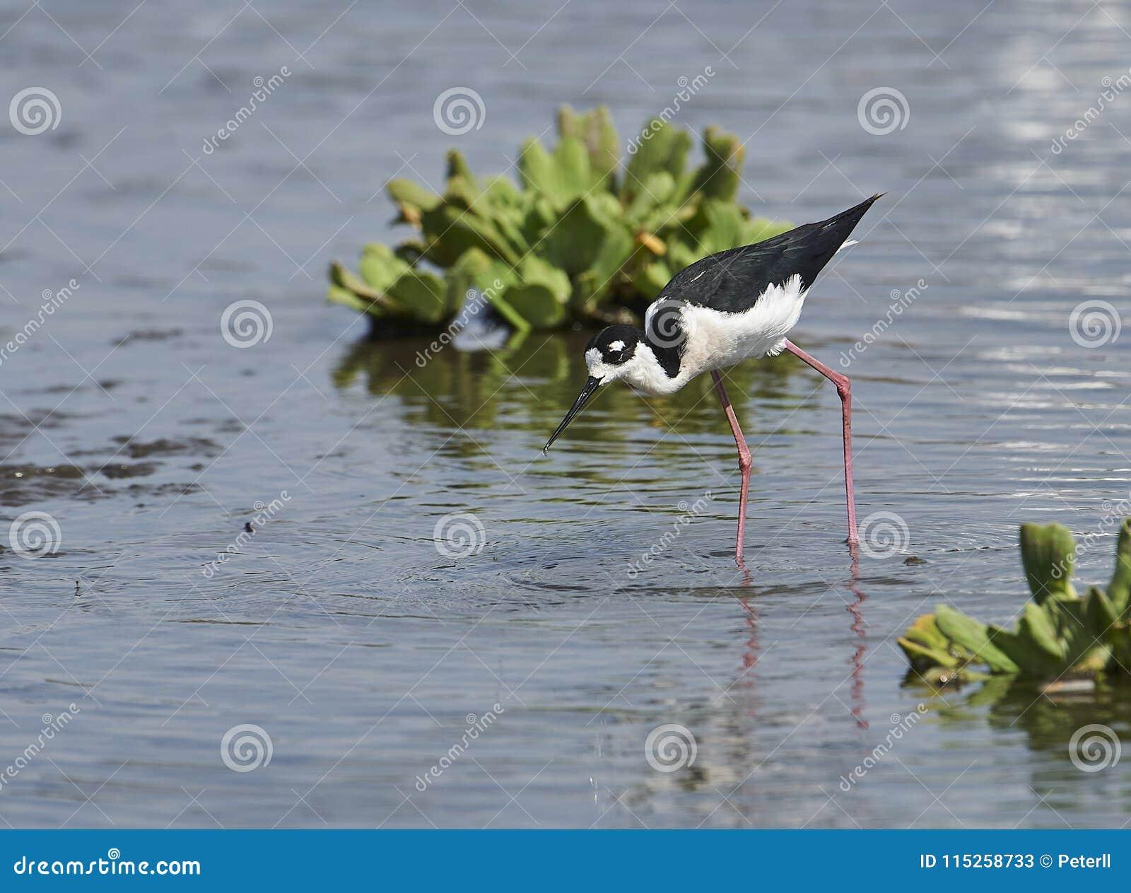 搜寻在查帕拉湖边缘的黑收缩的高跷Himantopus mexicanus