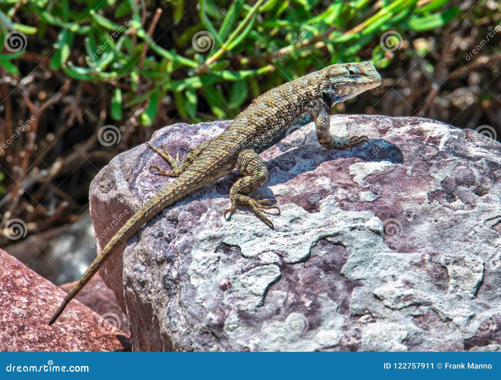 摆在岩石的蜥蜴
