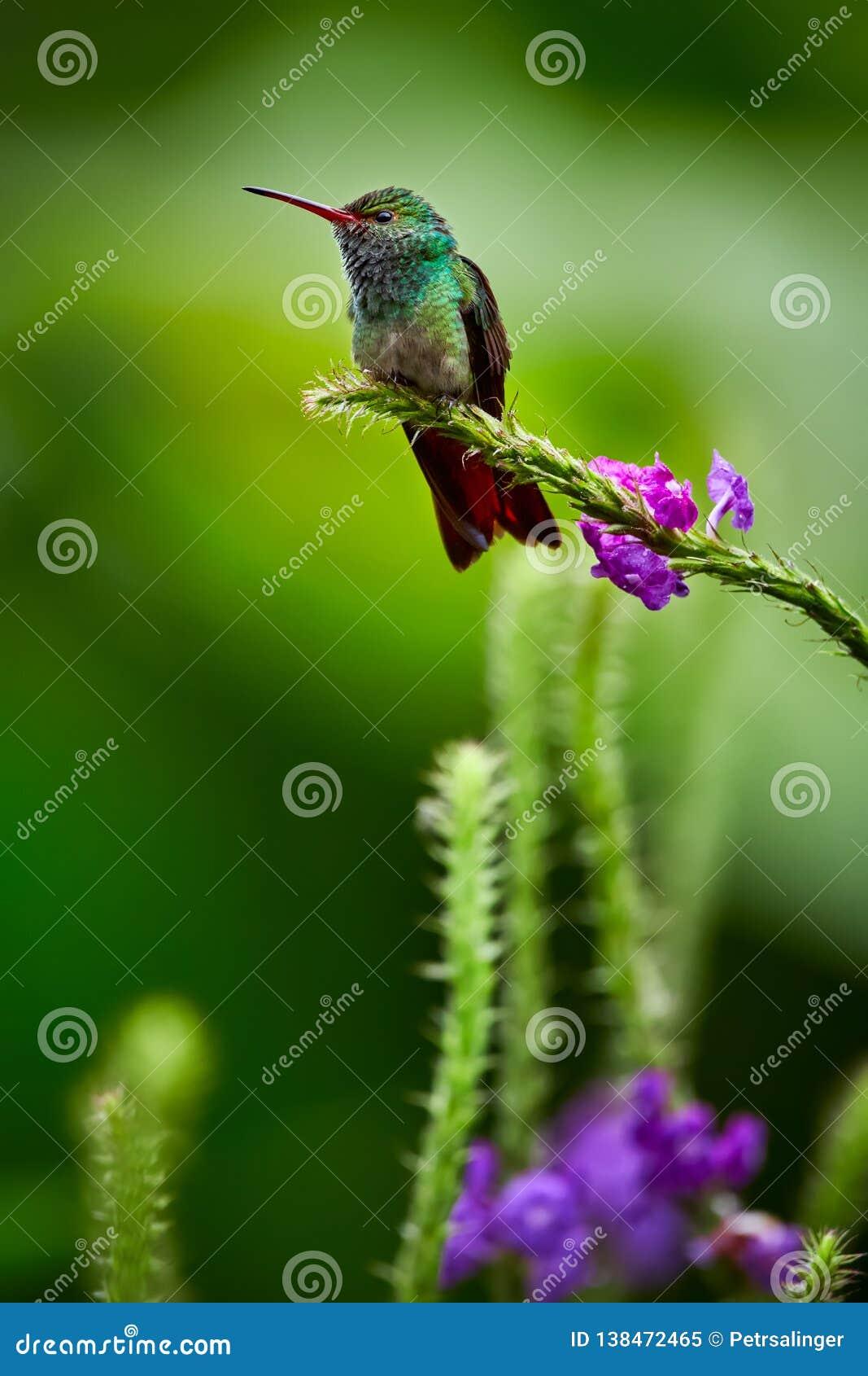 摆在树枝的红褐色被盯梢的蜂鸟Amazilia tzacatl