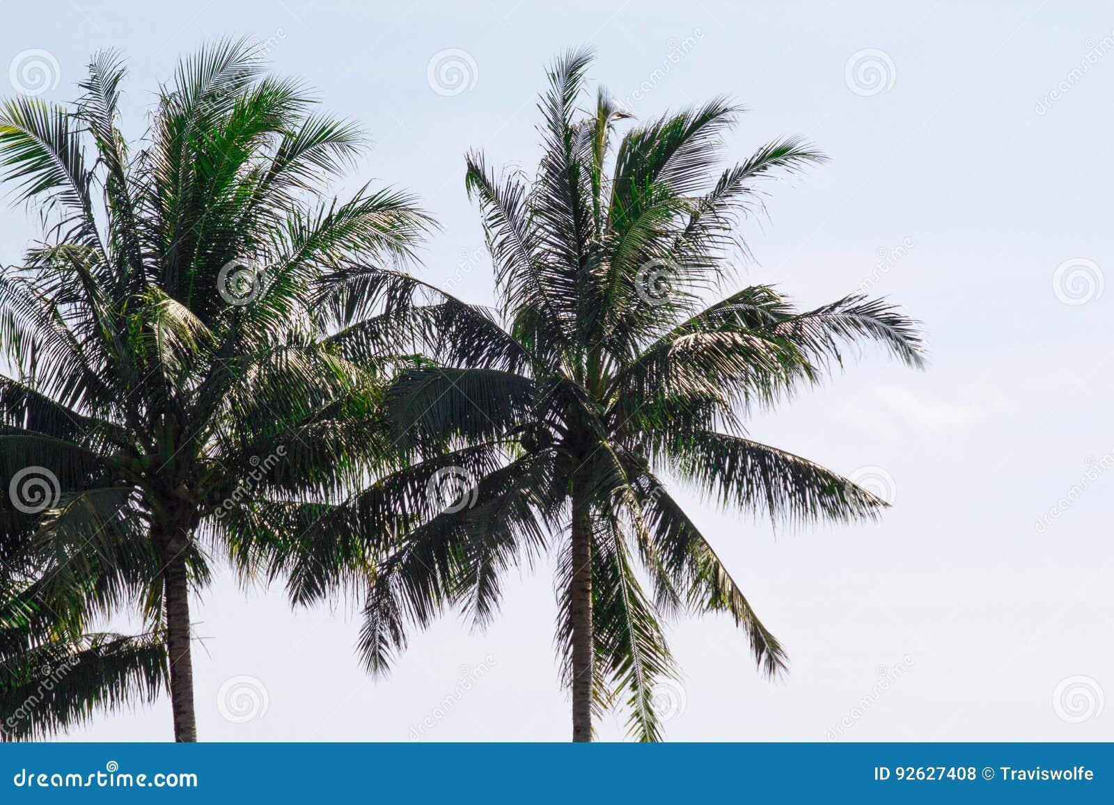 摇摆在通风咸海湾的双棕榈树在孤立吹微风