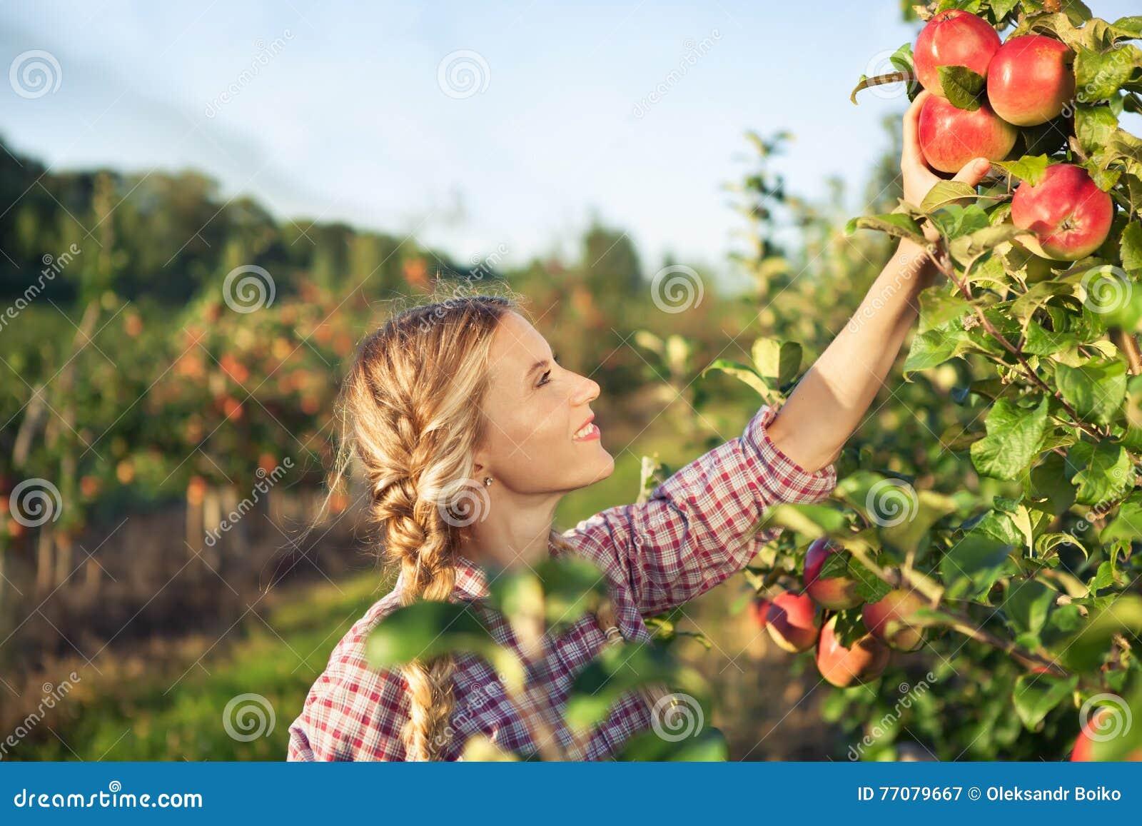 摘成熟有机苹果的美丽的少妇
