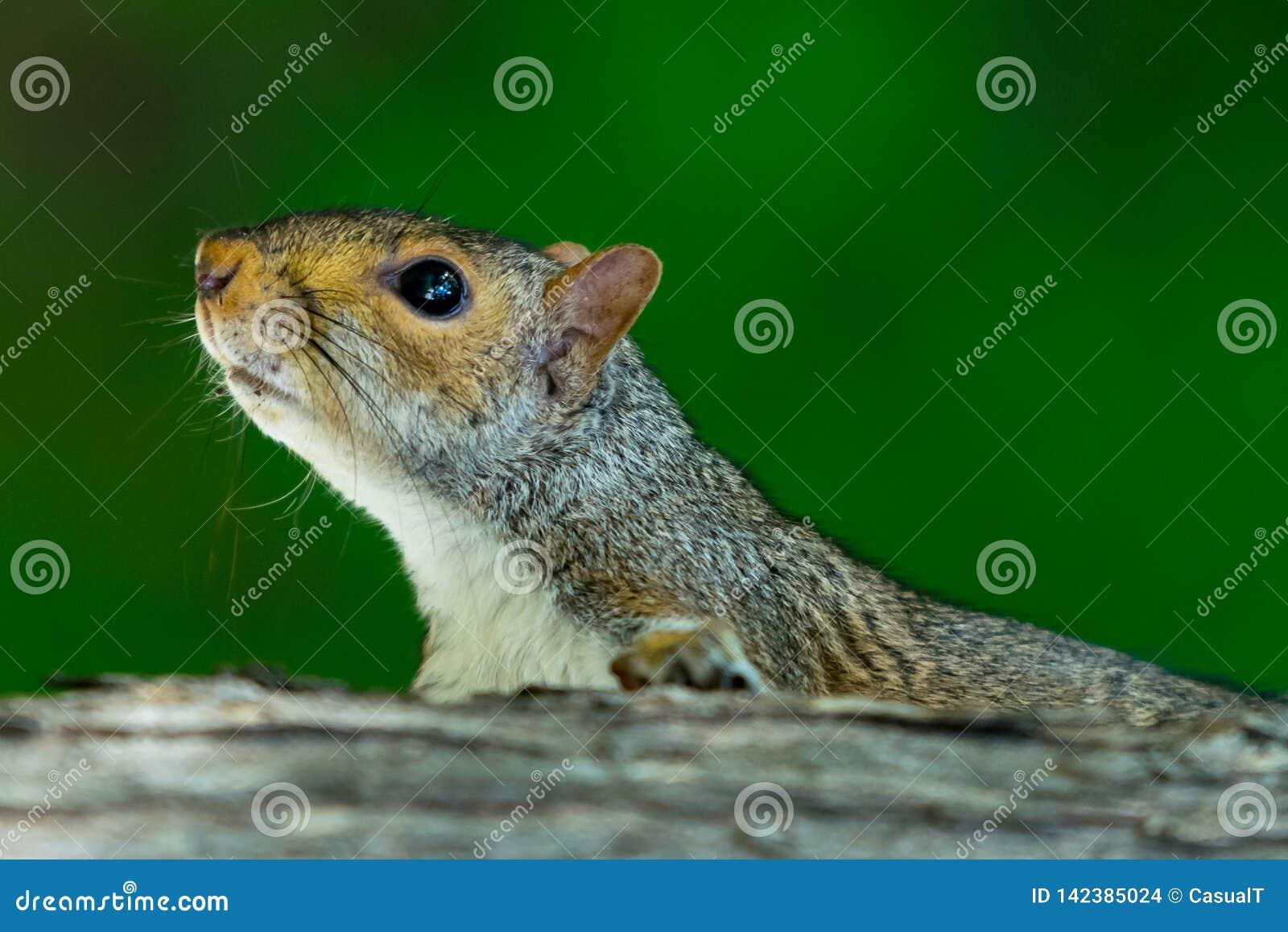 攀登一个树干有绿色bokeh背景,特写镜头的灰鼠