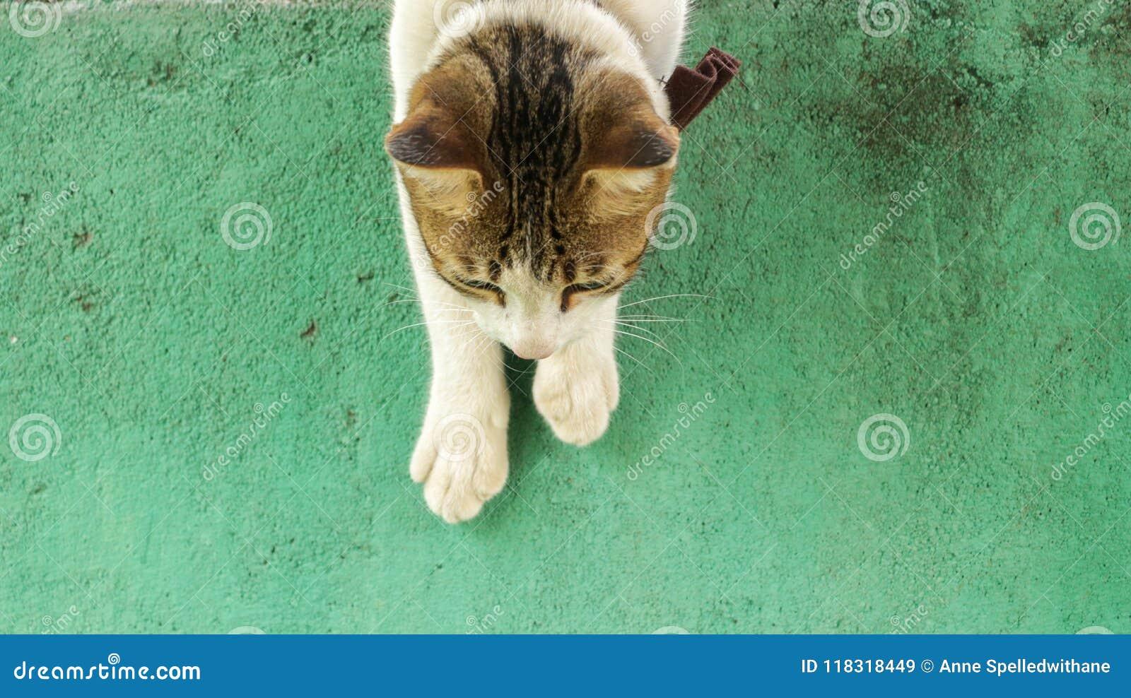 攀登下来葡萄酒绿色墙壁的逗人喜爱的白色猫