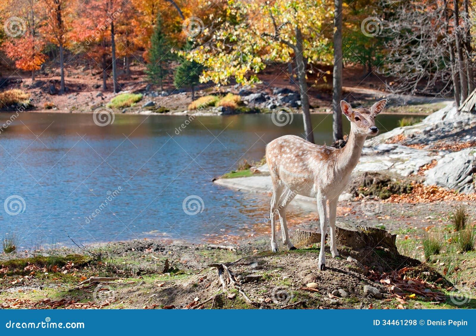 支持湖的小鹿