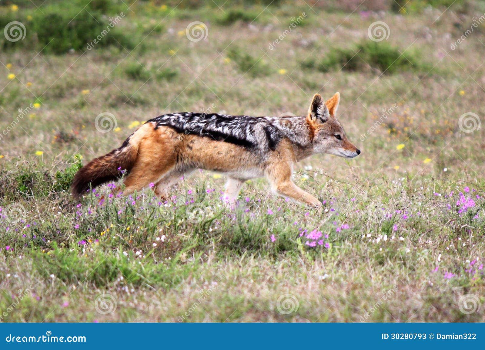 支持黑的狐狼