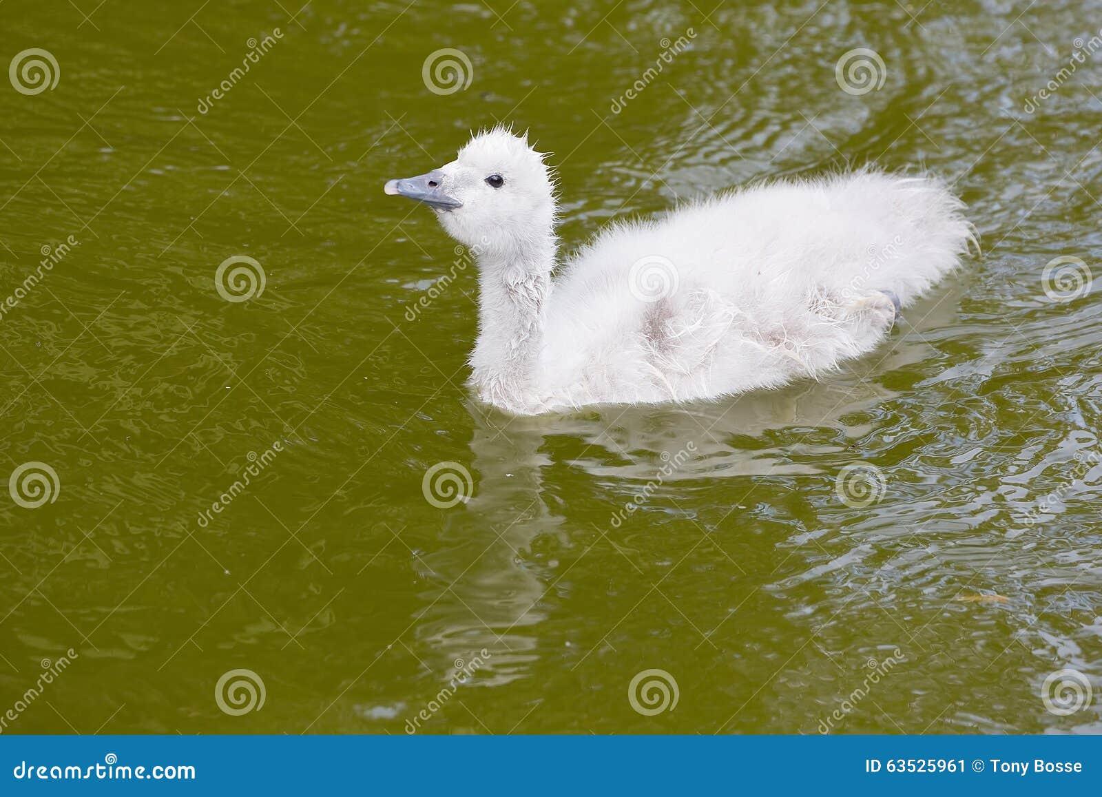 黑收缩的天鹅小鸡游泳
