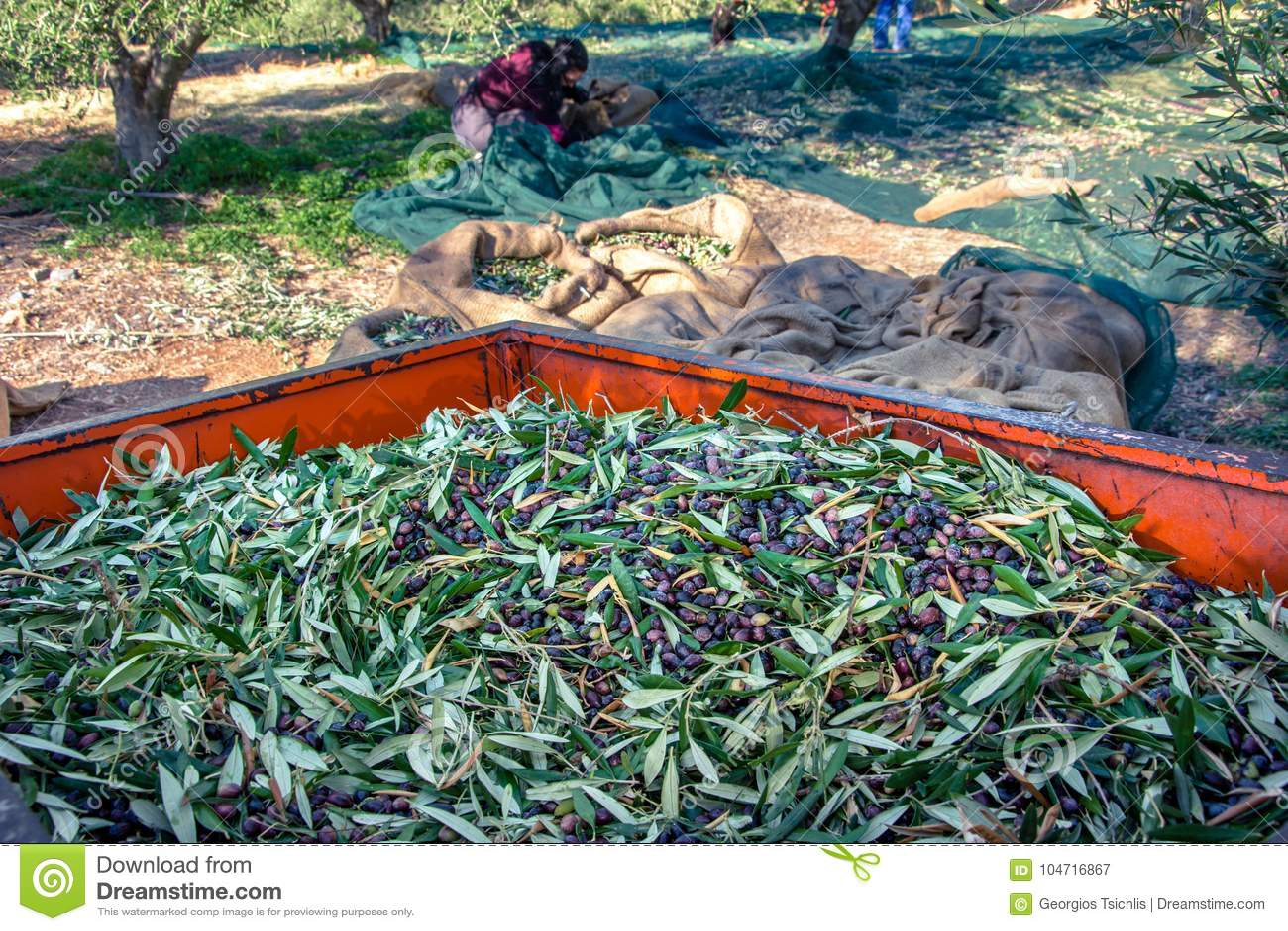 收获从橄榄树的领域的农业学家的新鲜的橄榄额外处女橄榄油产品的
