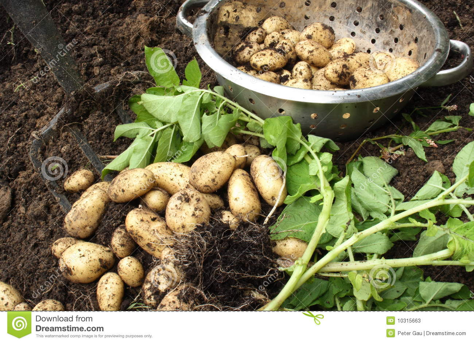 库存照片: 收获有机土豆图片