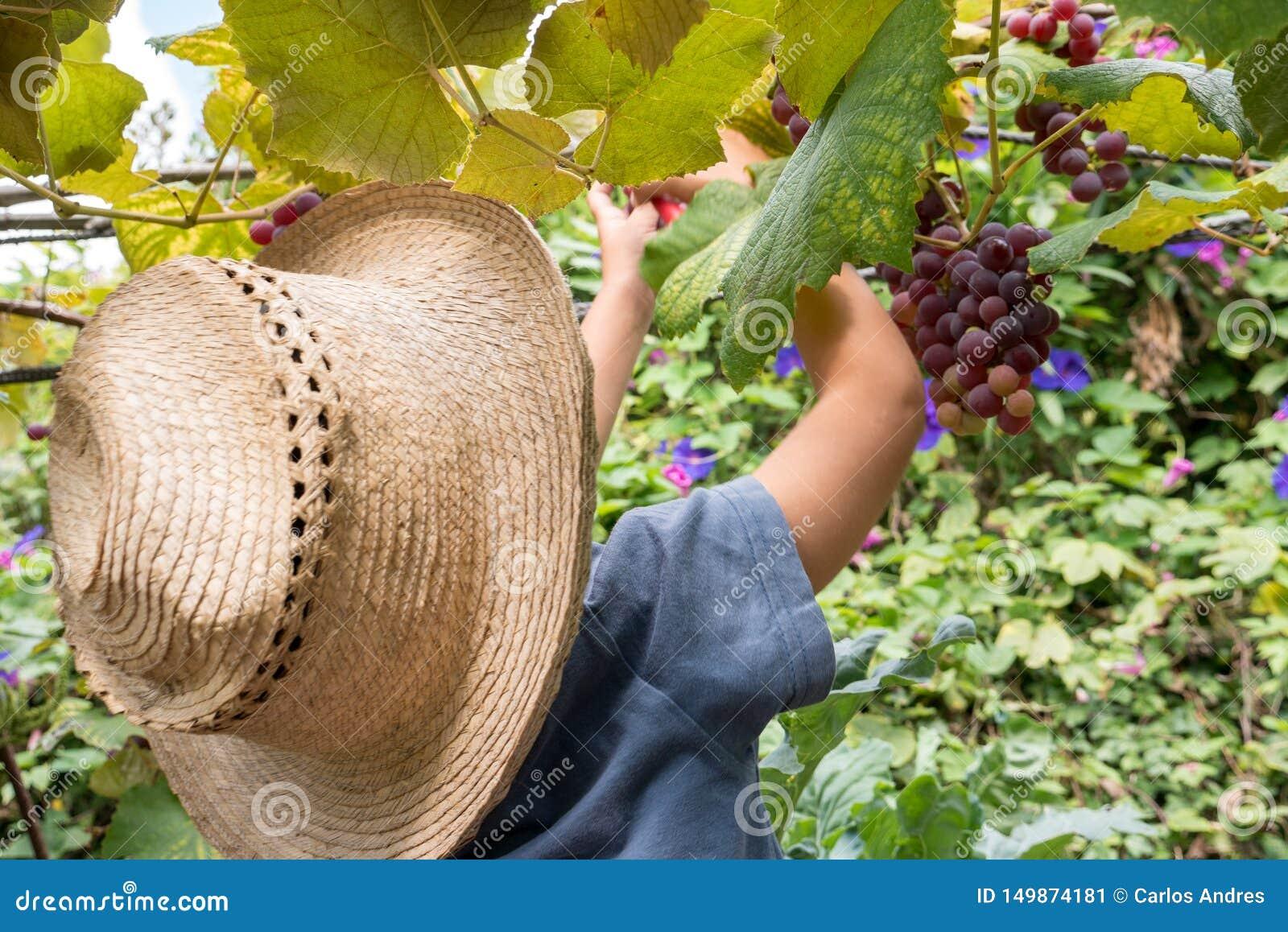 收获葡萄的小男孩在他的家庭的果树园