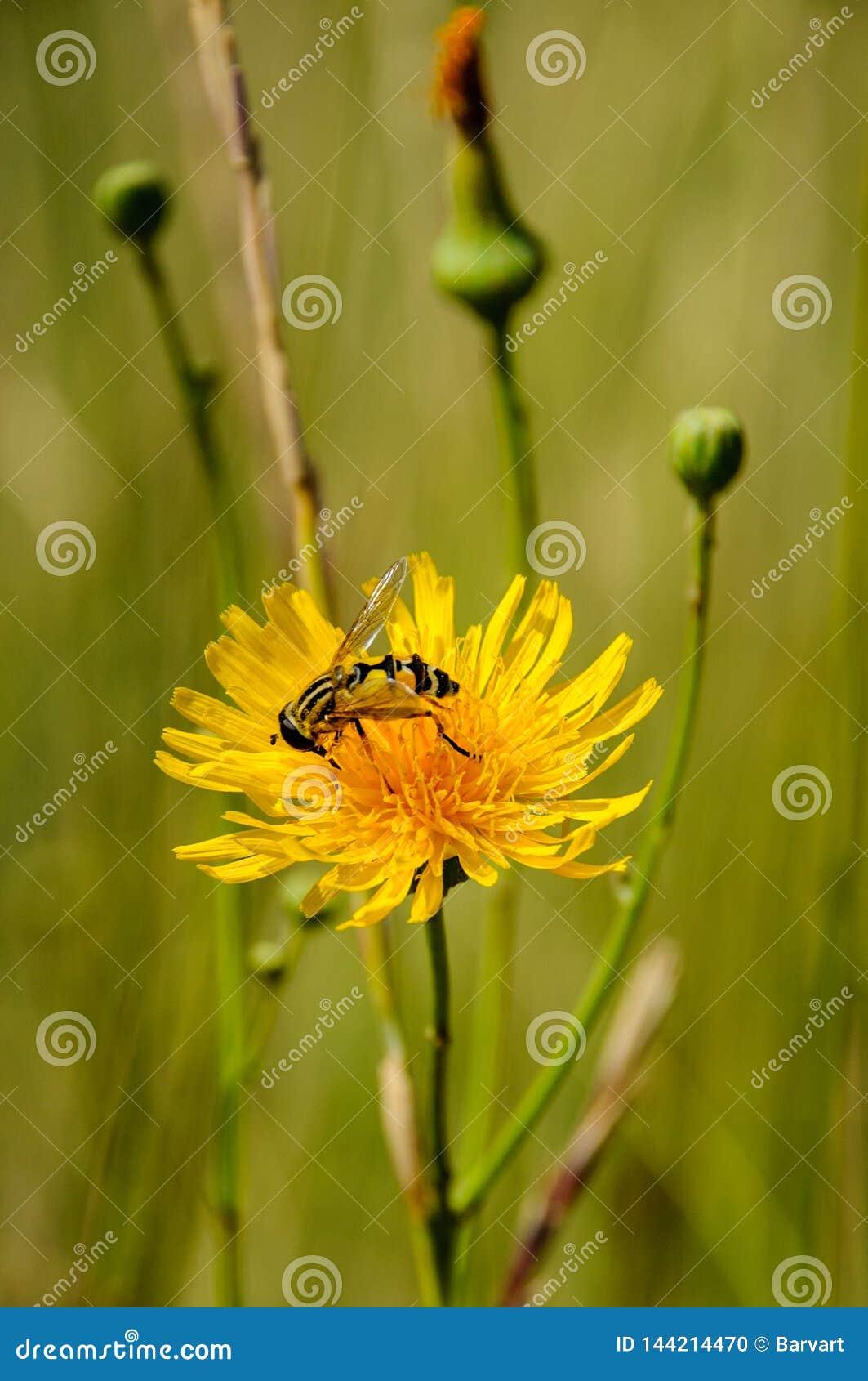 收集在黄色强奸花的蜂蜜蜂花粉