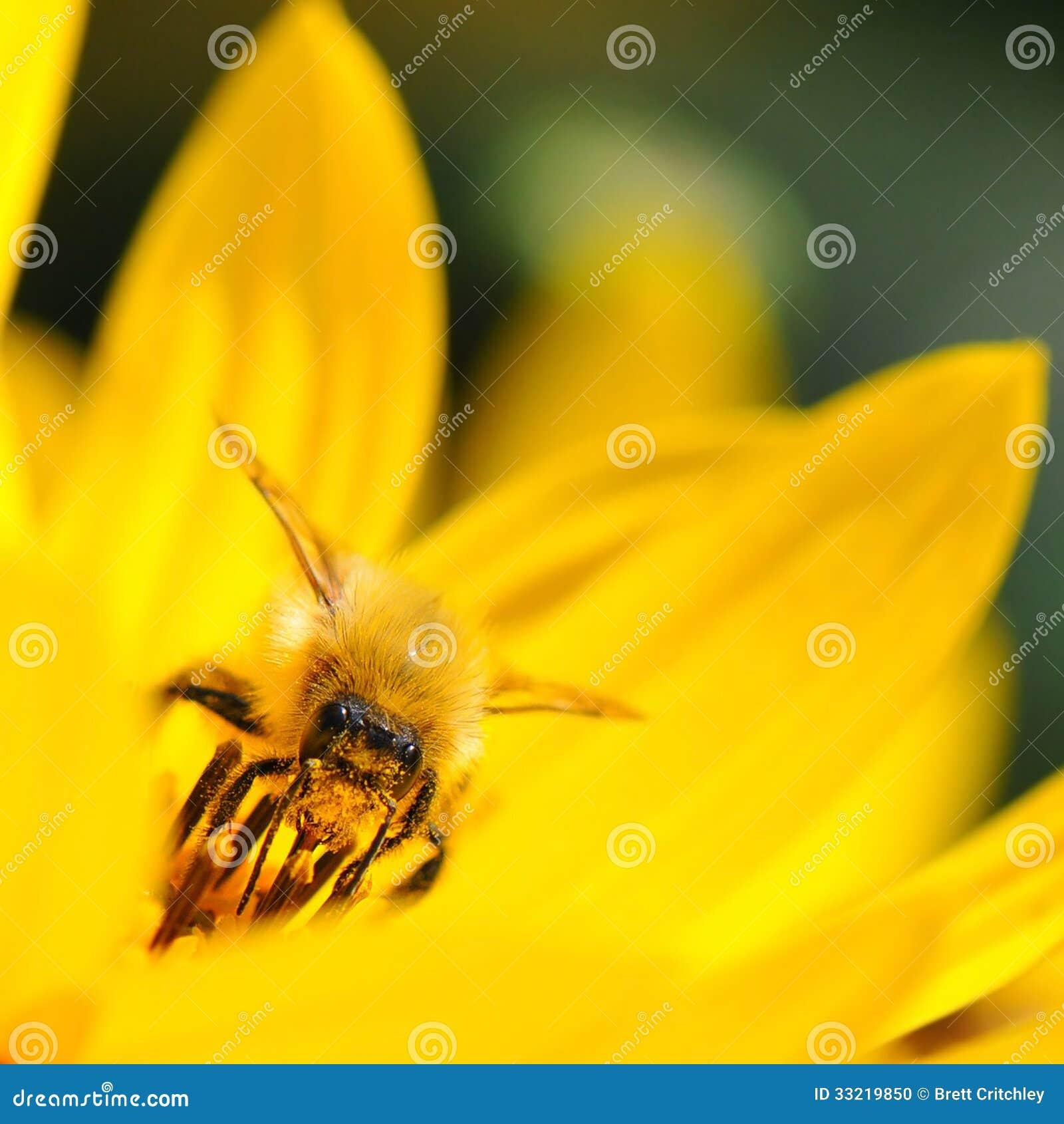 收集花粉的蜂蜜蜂