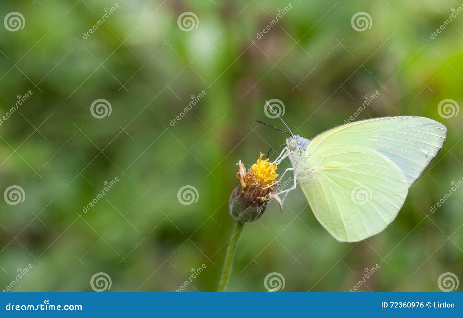 收集花蜜的蝴蝶从花