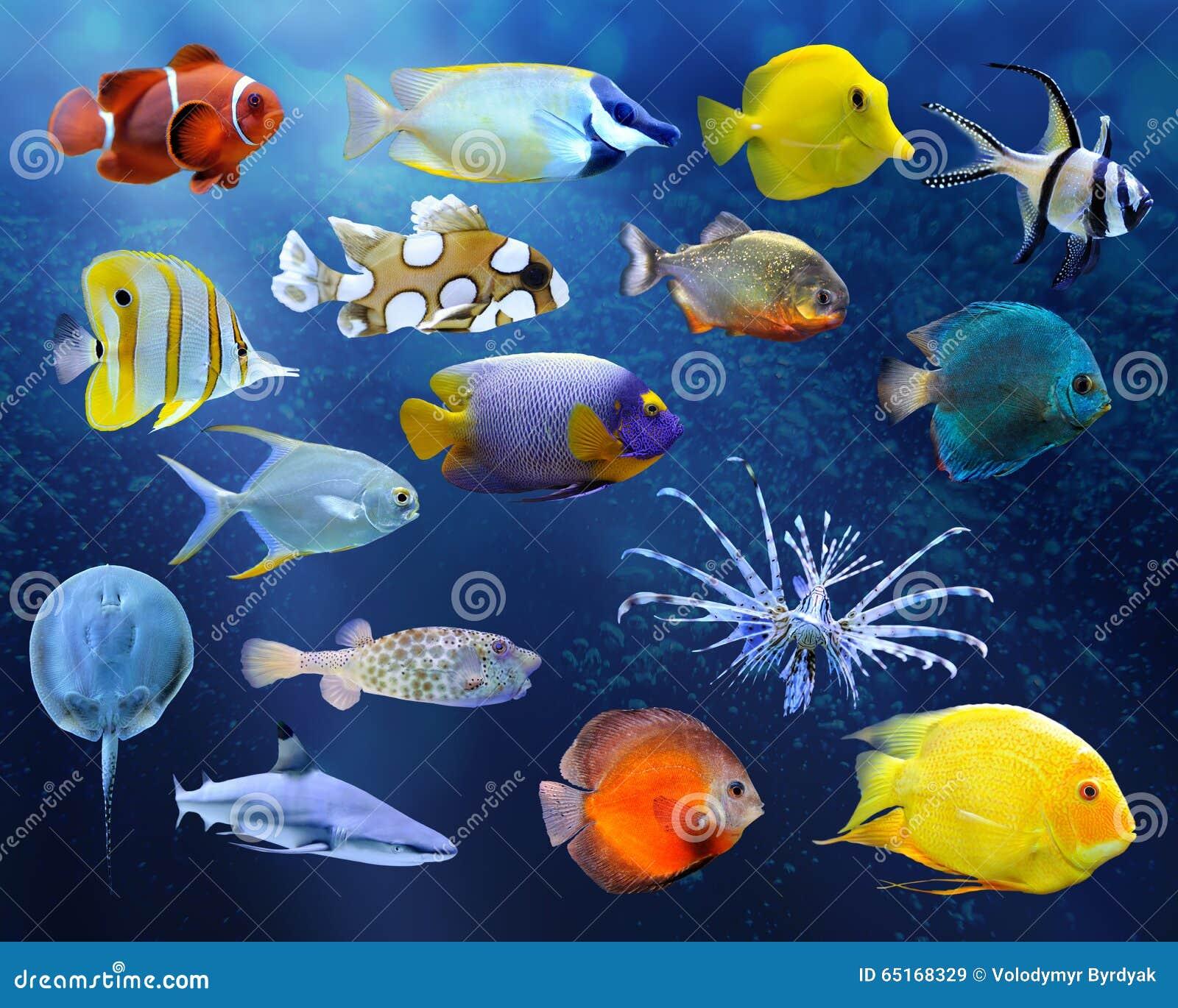 一条热带鱼的了不起的收藏在蓝色背景的.图片