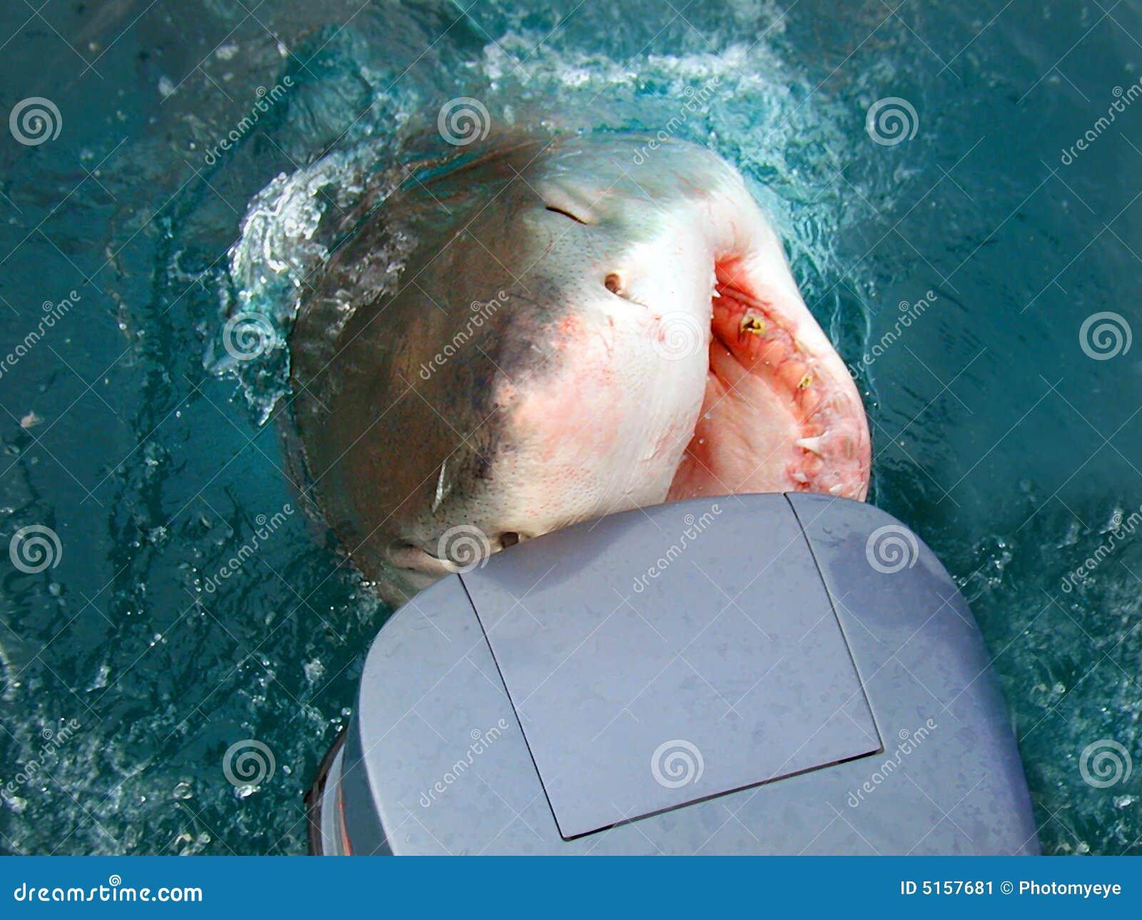攻击的汽艇鲨鱼