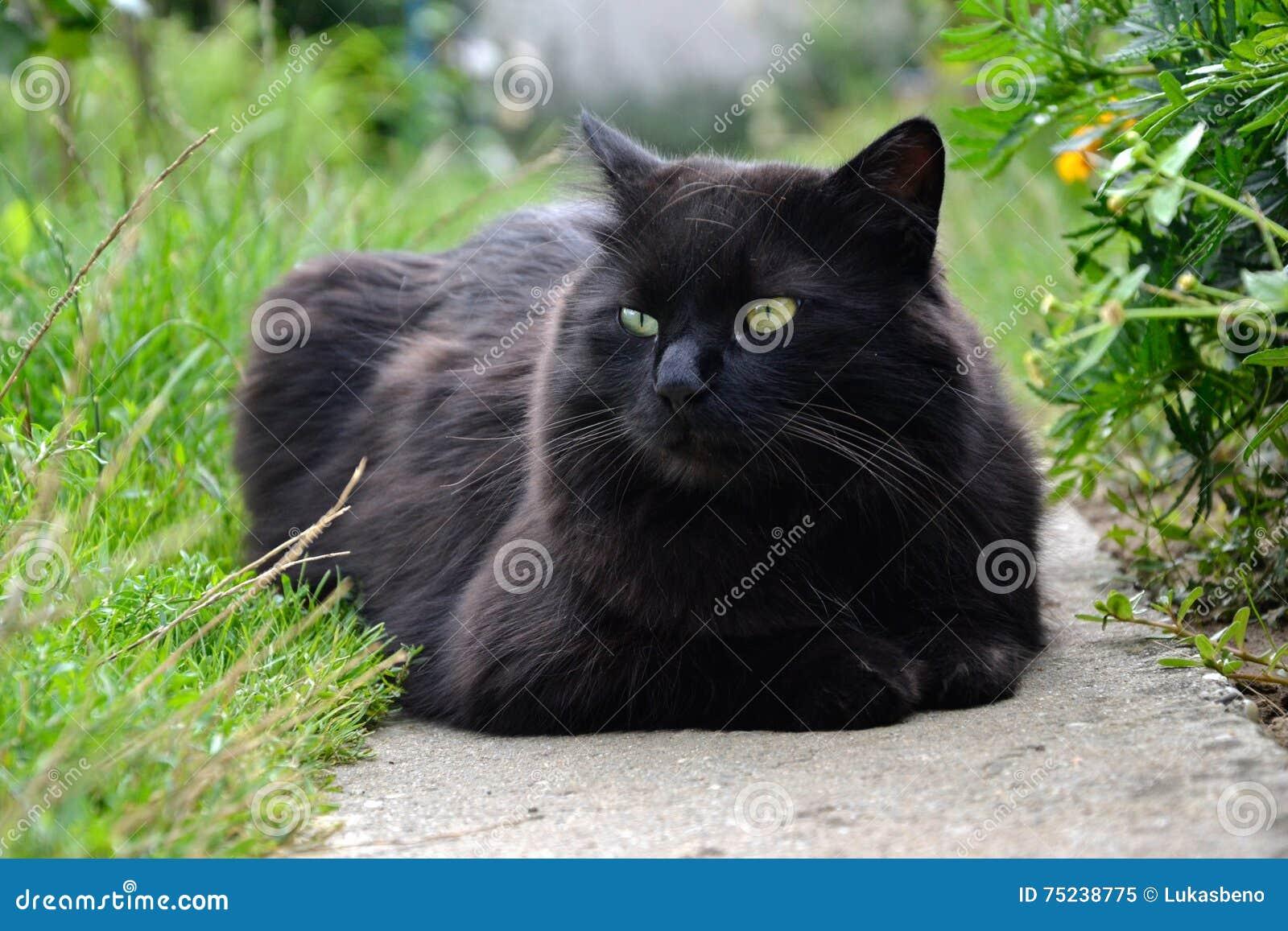 放松在庭院里的厚实的长的头发黑色尚蒂伊蒂凡尼猫画象  肥胖雄猫特写镜头与惊人的大嫉妒的