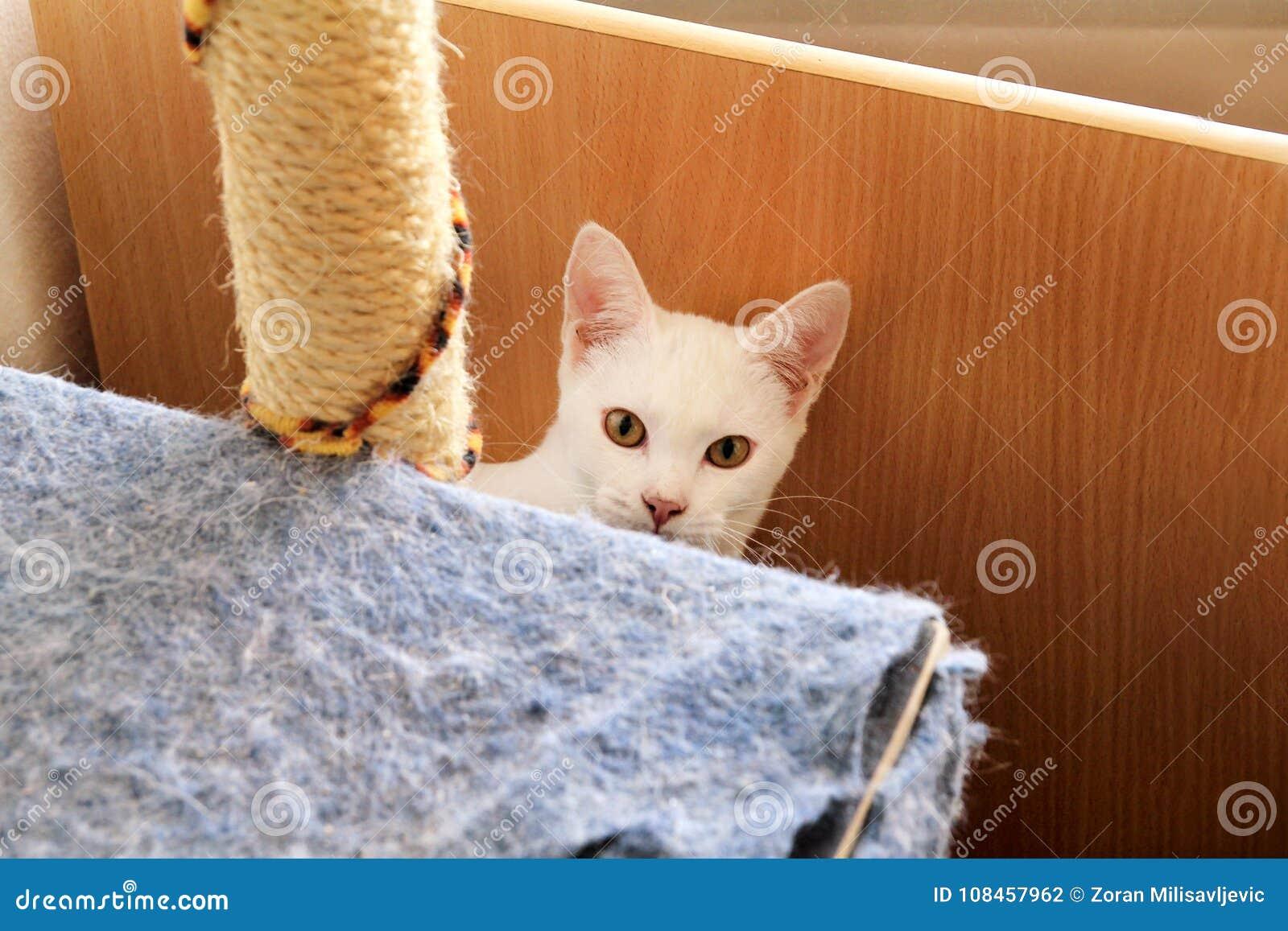 放松白色猫的画象在家说谎和 关闭白色小猫猫在房子里 逗人喜爱的美丽的小的全部赌注