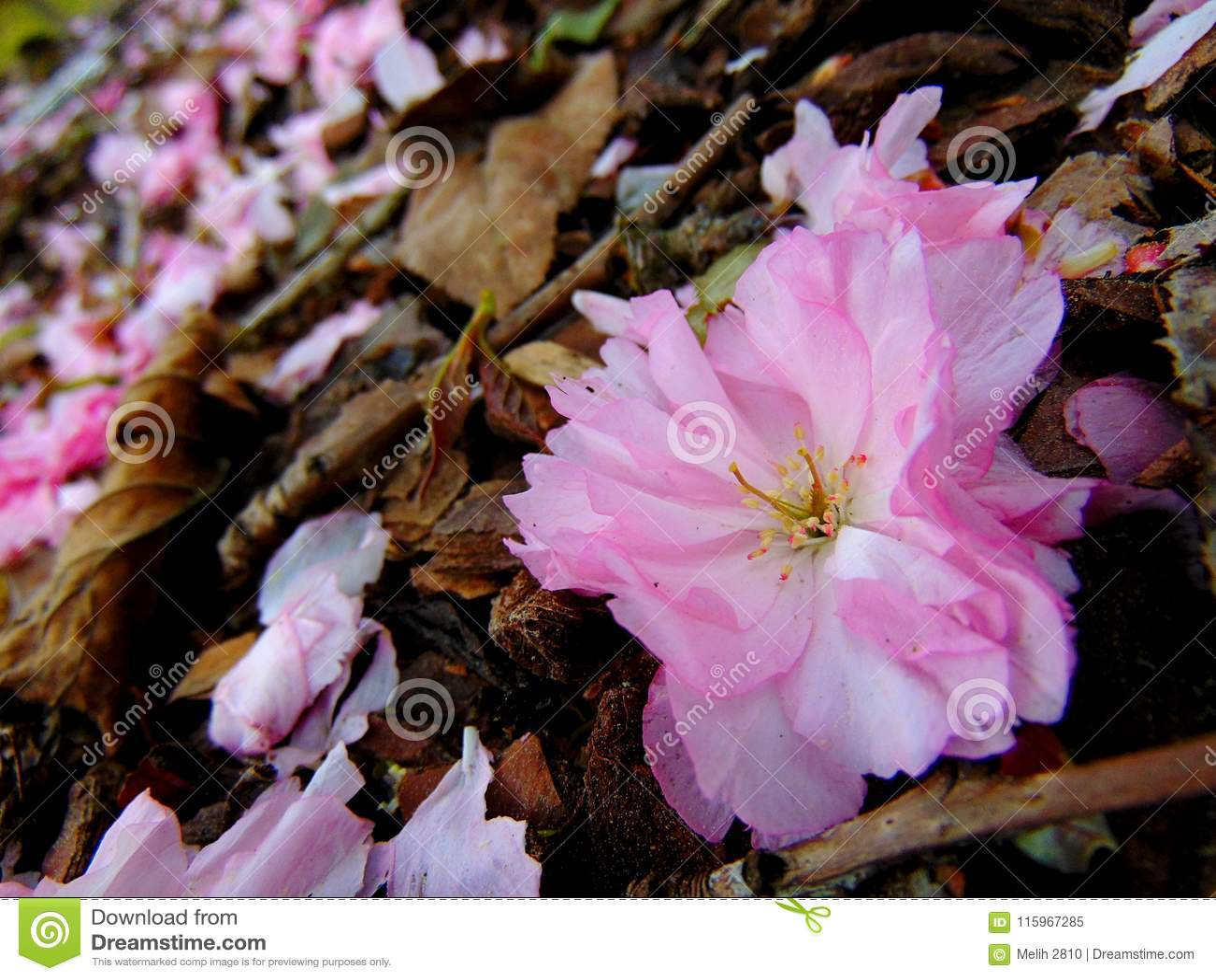 放置在吠声地面的桃红色樱花瓣