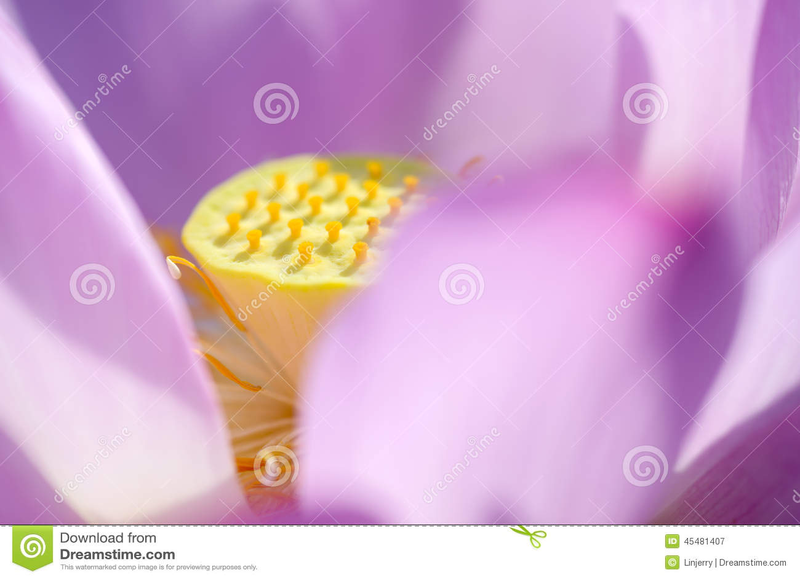 绽放莲花墙纸