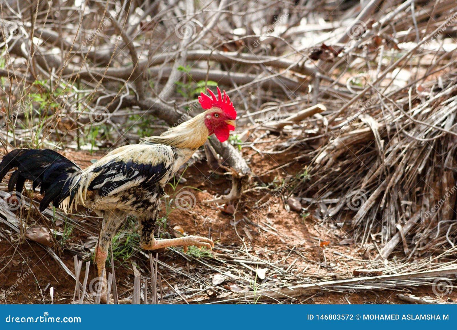 散步在农场附近的雄鸡