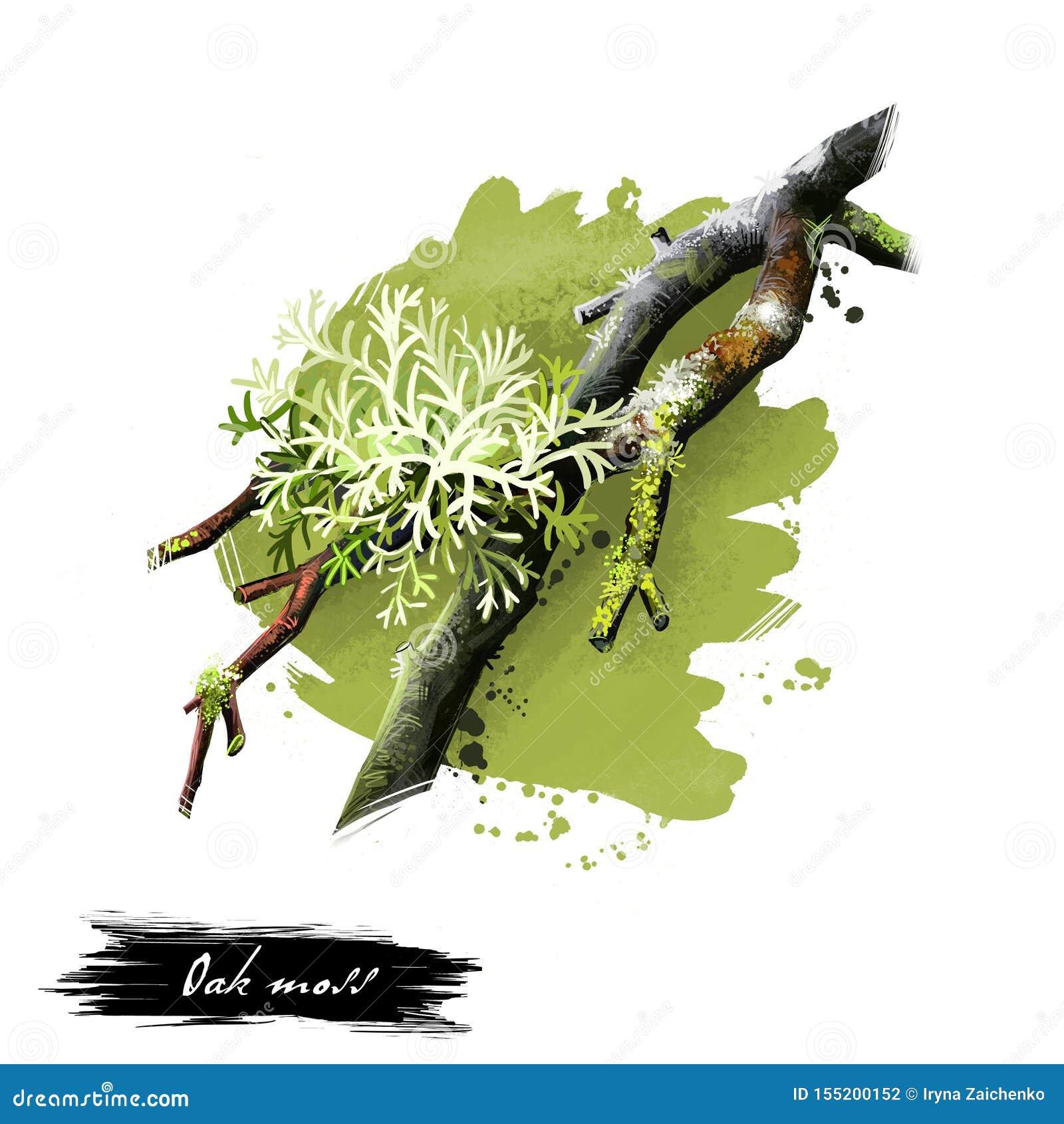 数字橡木青苔,Evernia prunastri的艺术例证隔绝在白色背景 地衣,综合的橄榄绿种类