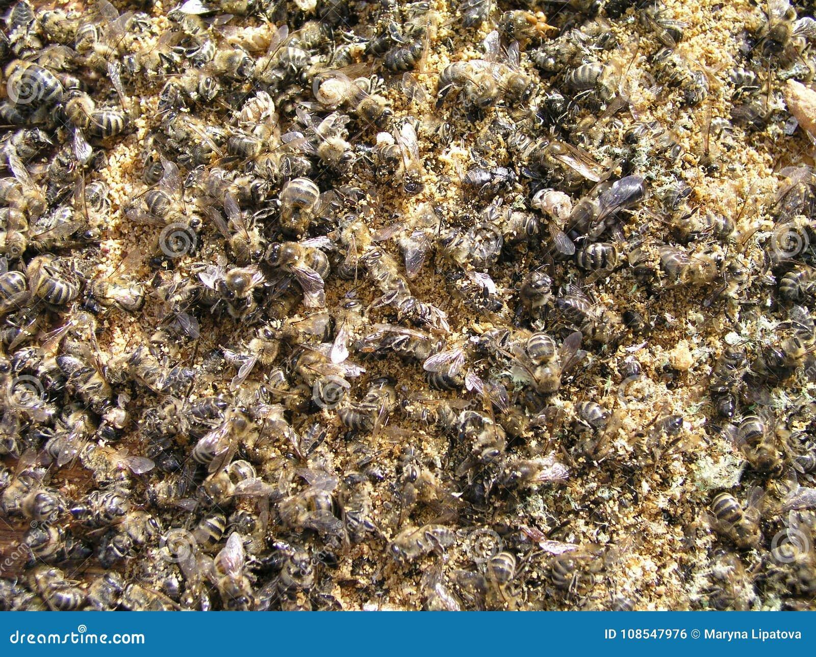 数百在蜂房的底部的死的蜂