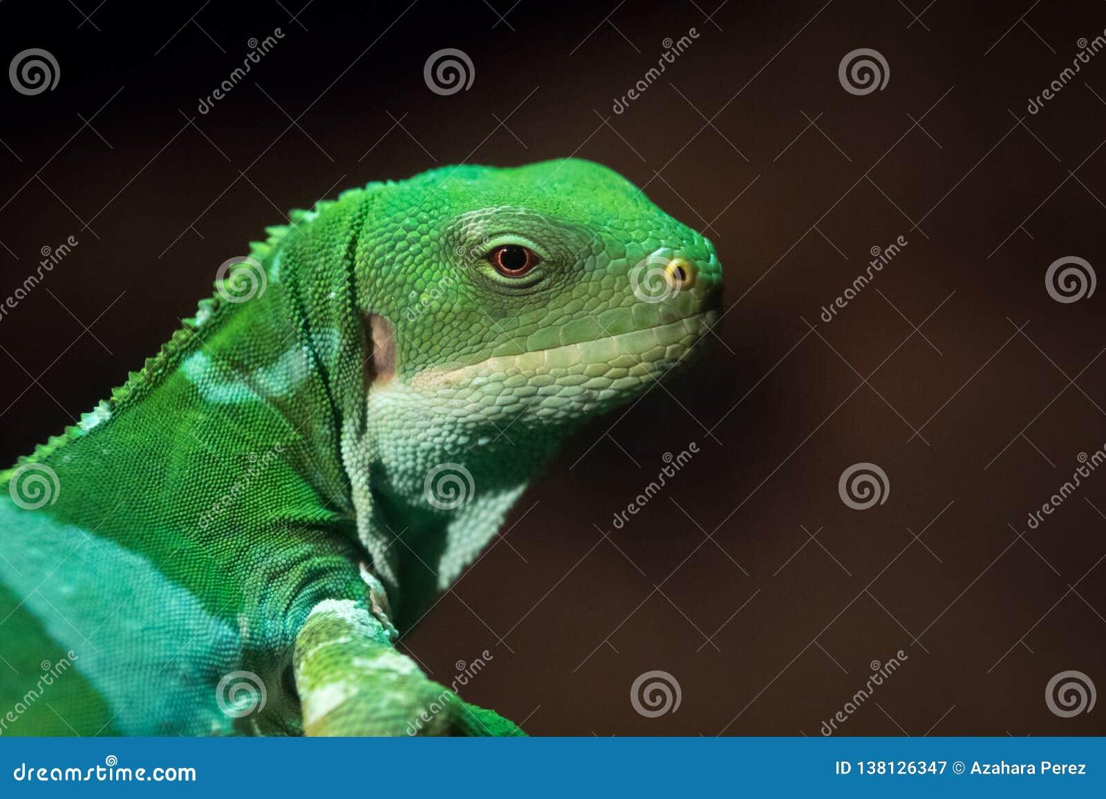 斐济结合了鬣鳞蜥fasciatus是蜥蜴的一个树木种类的Brachylophus
