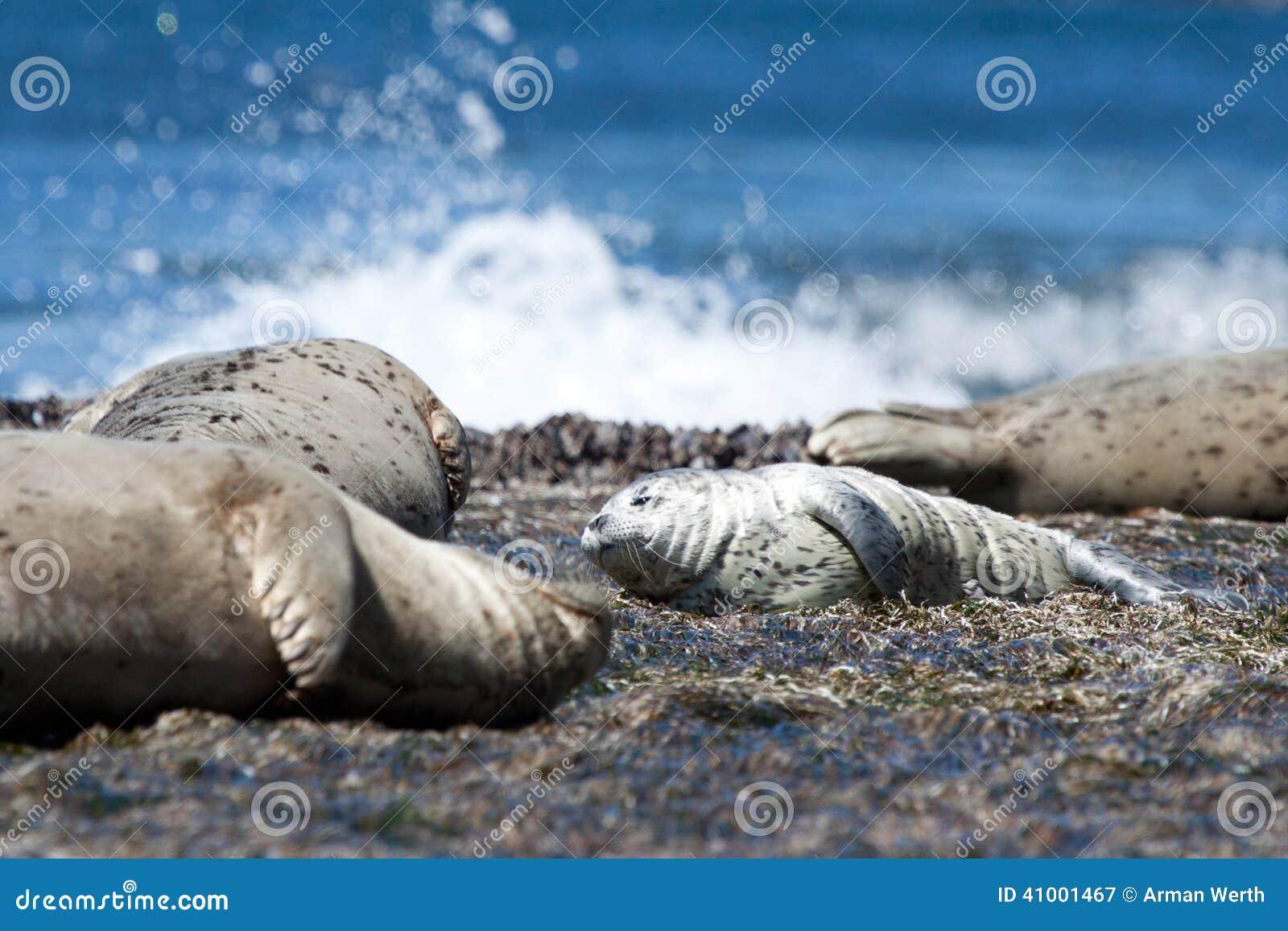 斑海豹小狗
