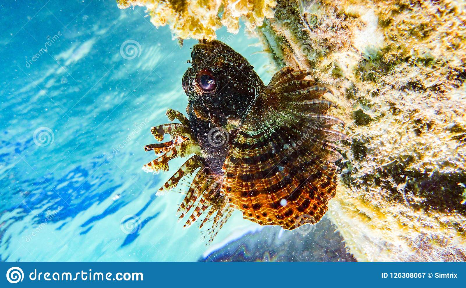 斑点飞翅蓑鱼在马尔代夫