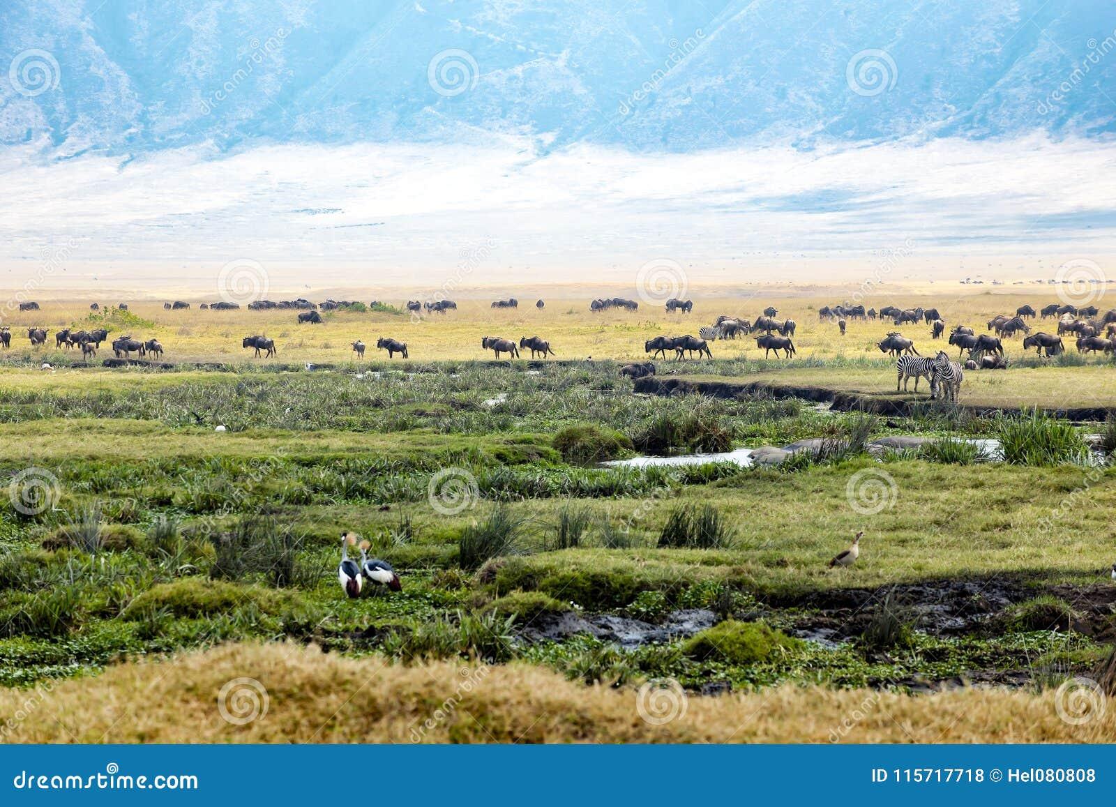 斑马,牛羚,河马,在一起Ngorongoro火山口非洲动物的鸟